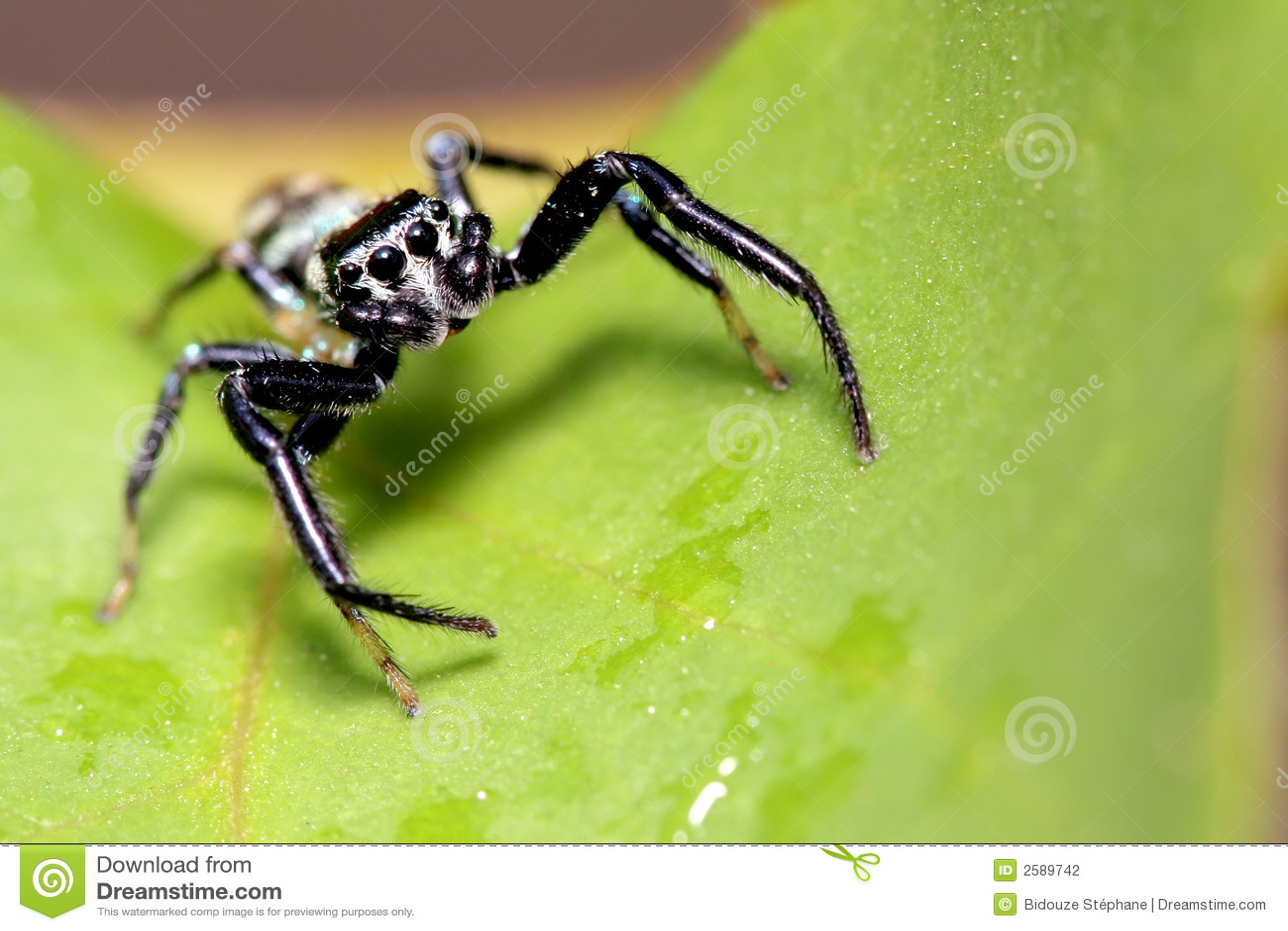 Springende spin, Maleisië