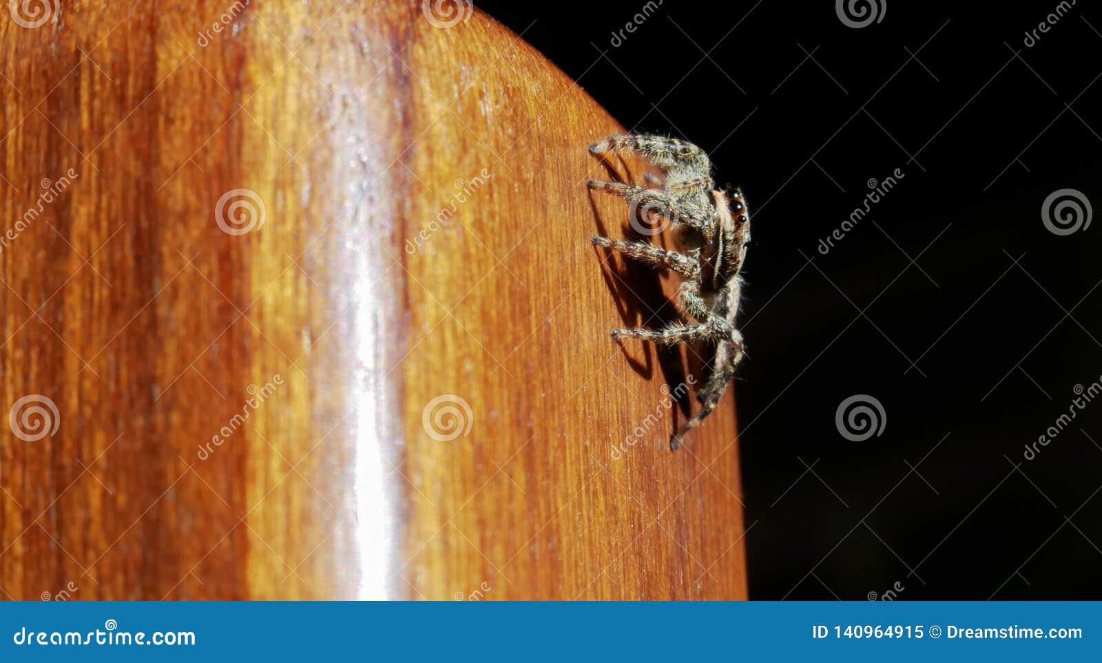 Springende Spinne auf einem Holzstuhlbein
