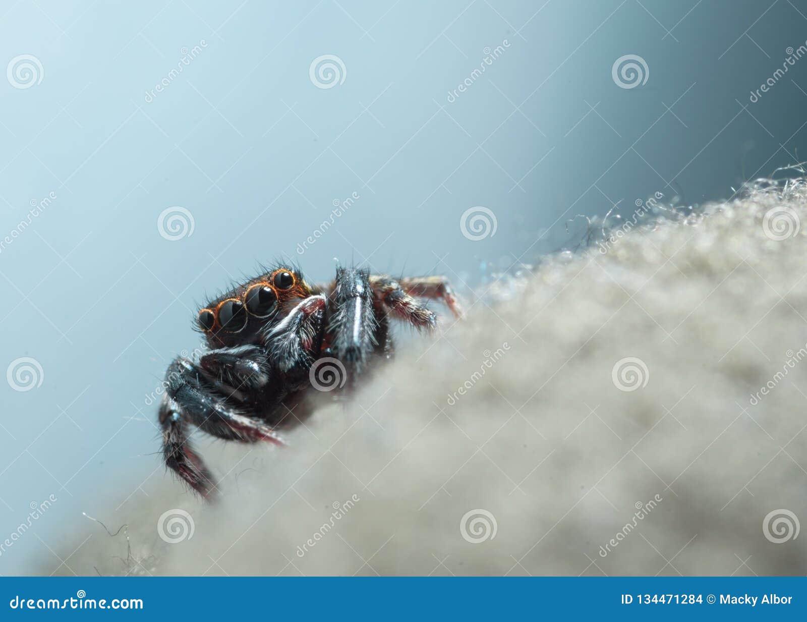 Springende Spinne des Hauses auf einem Gewebemakroschussschuß