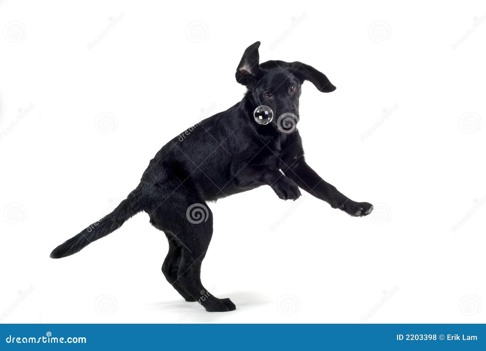 springende zwarte hond stock foto afbeelding bestaande uit wagging 2203398. Black Bedroom Furniture Sets. Home Design Ideas