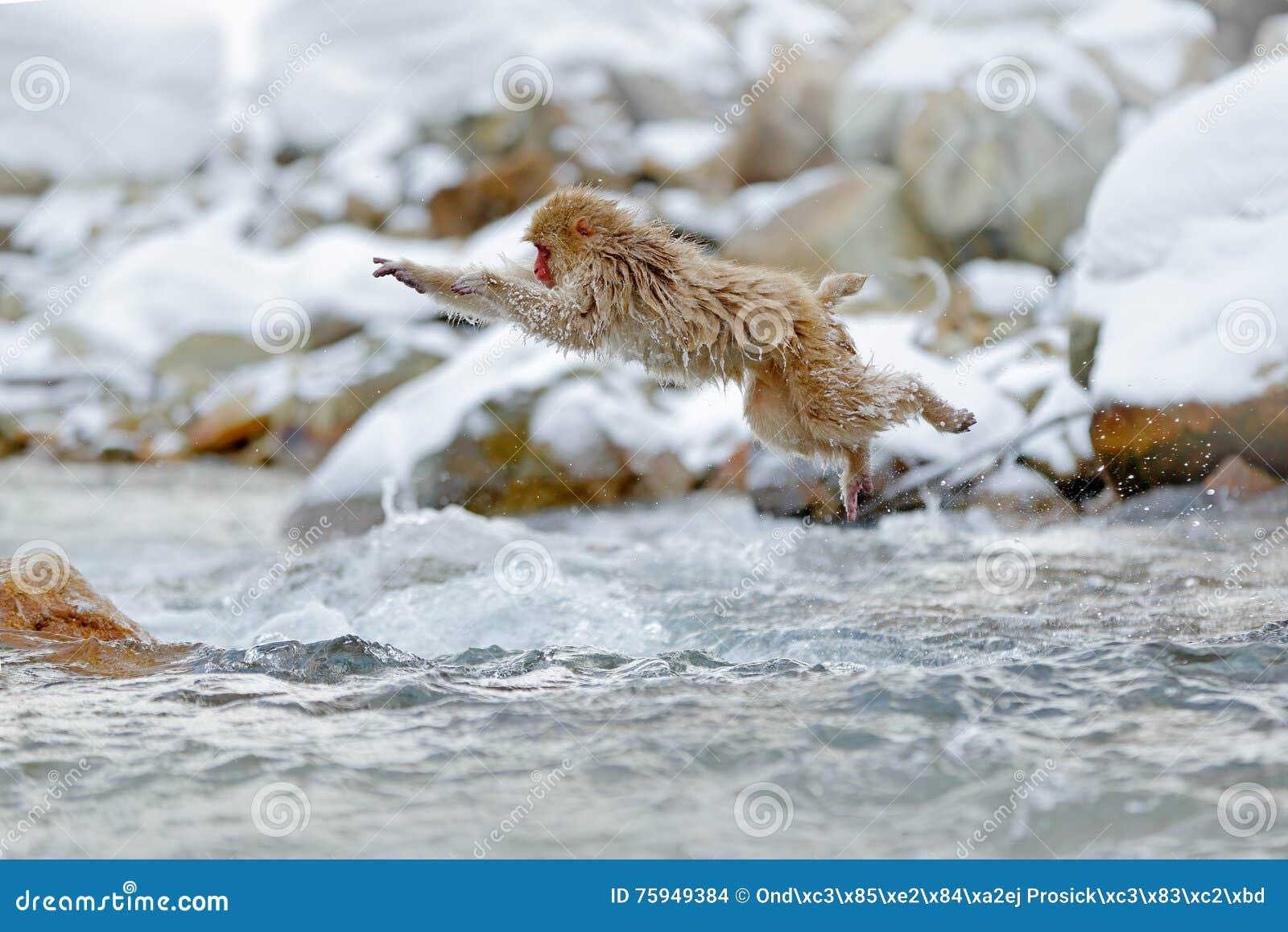 Springender Affe Szene der Aktionsaffe-wild lebenden Tiere von Japan Albern Sie japanischen Makaken, Macaca fuscata herum und übe