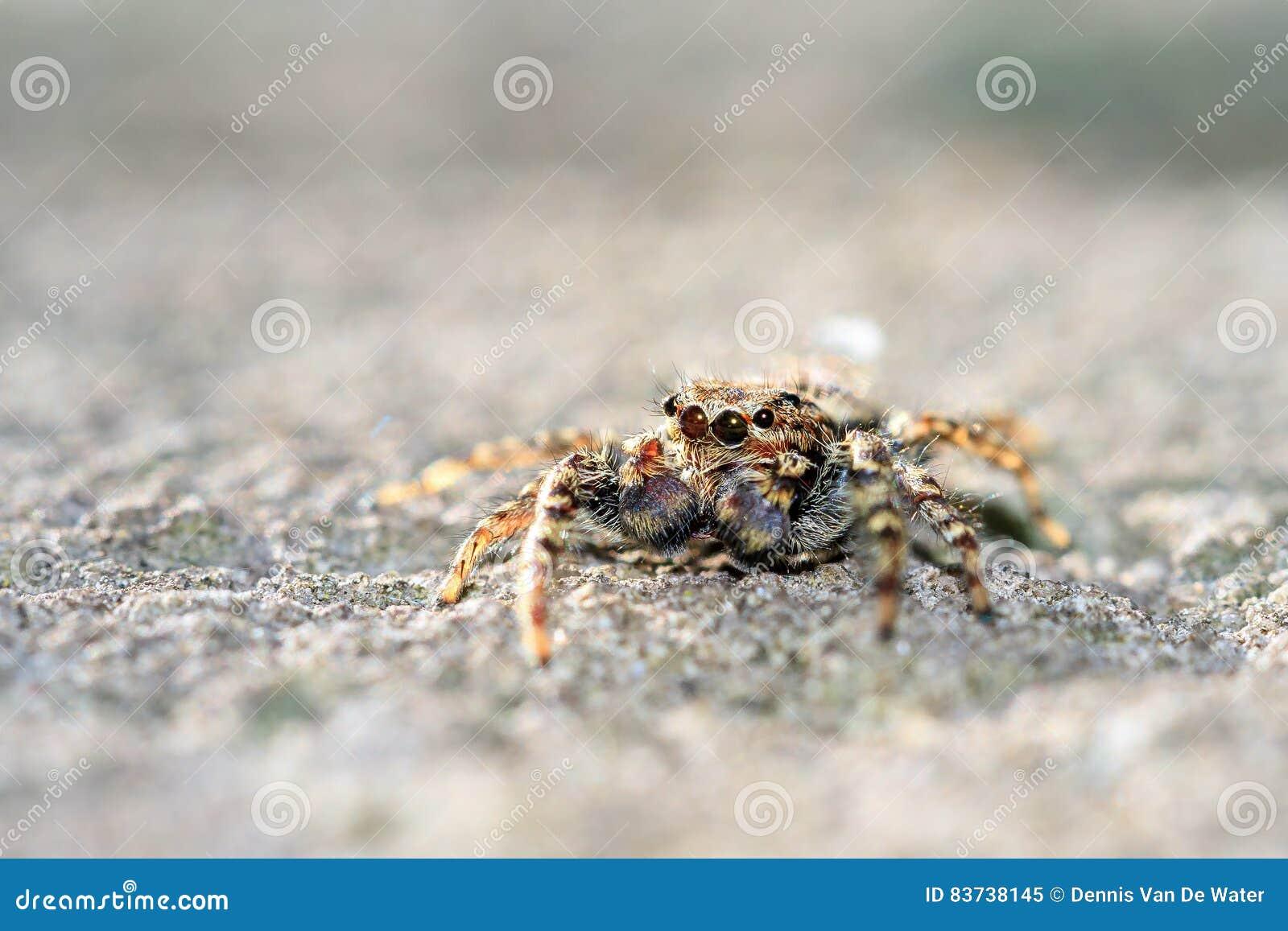 Springendes Spinnen-Makro