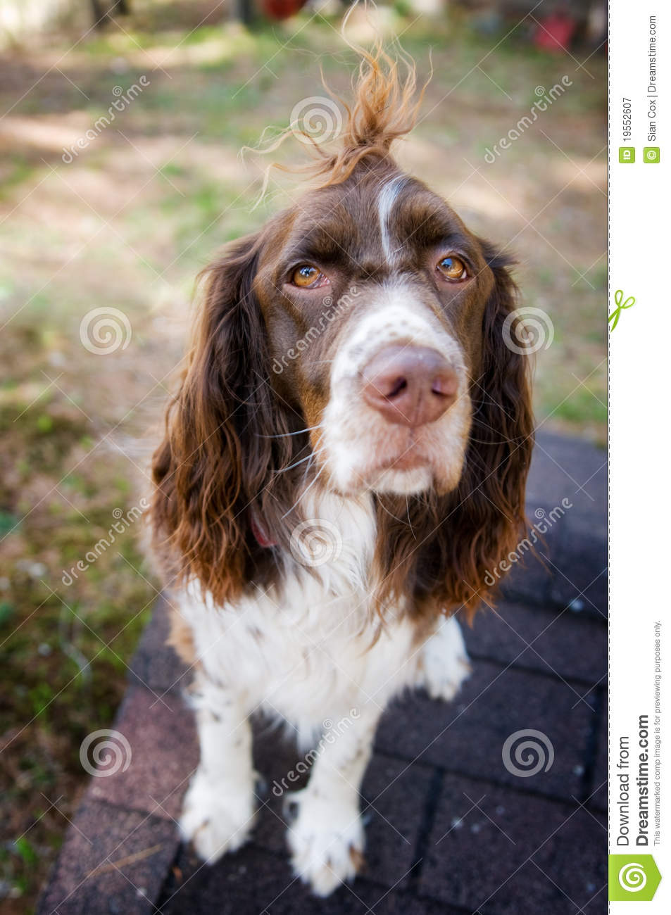 Springer Spaniel Royalty Free Stock Photography Image 19552607