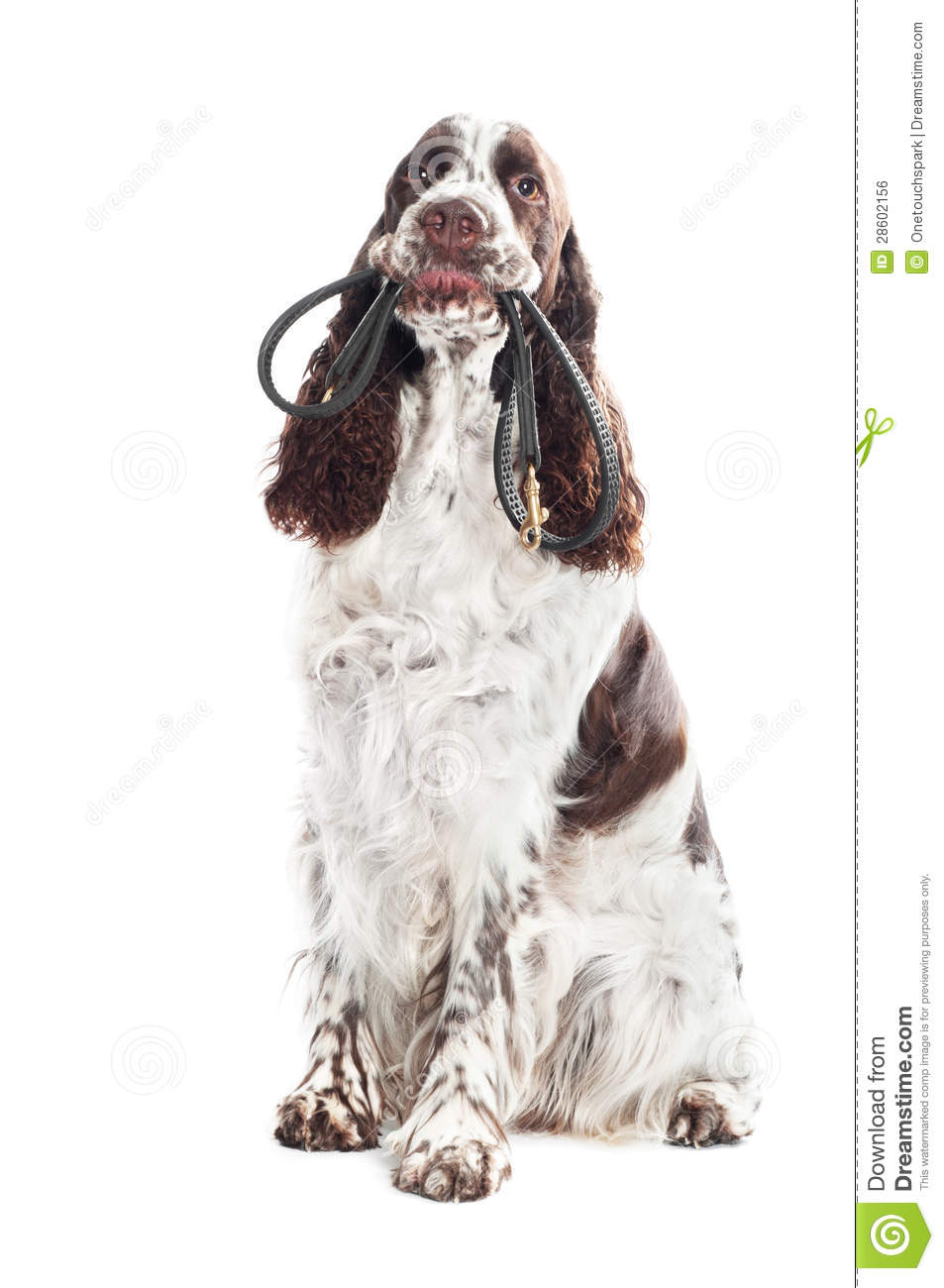 springer spaniel dog holding a leash in its mouth royalty