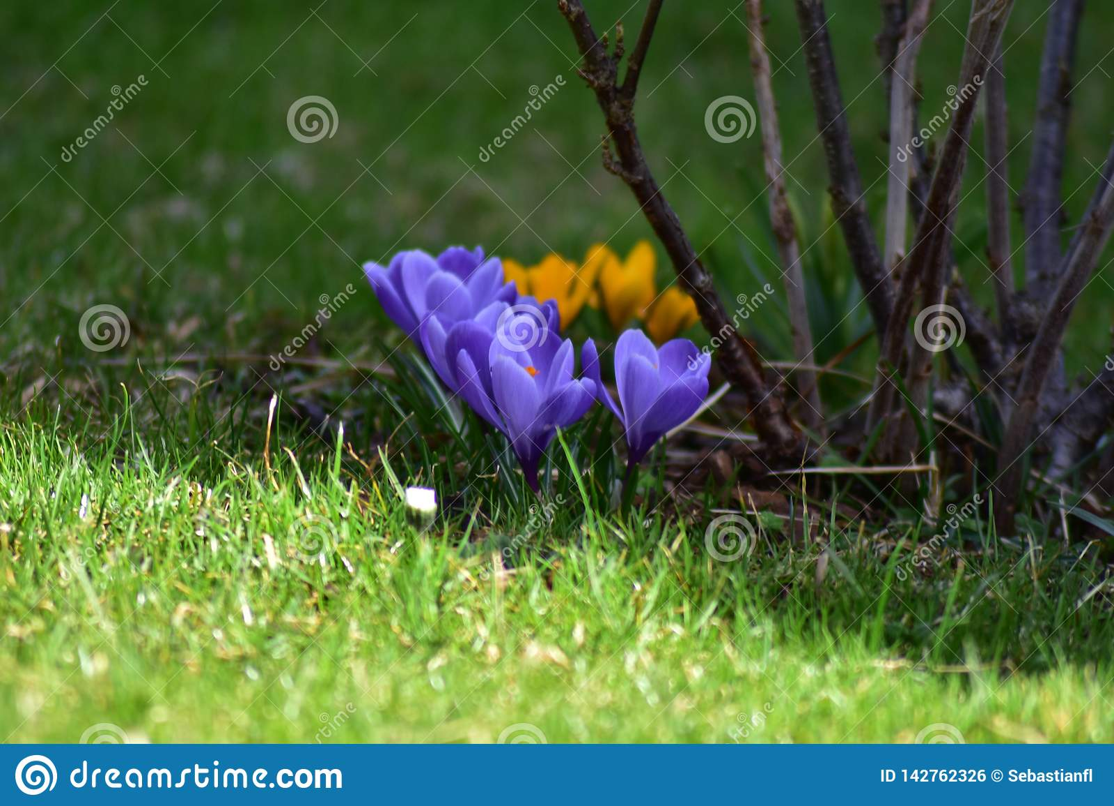 Springflowers no prado na mola