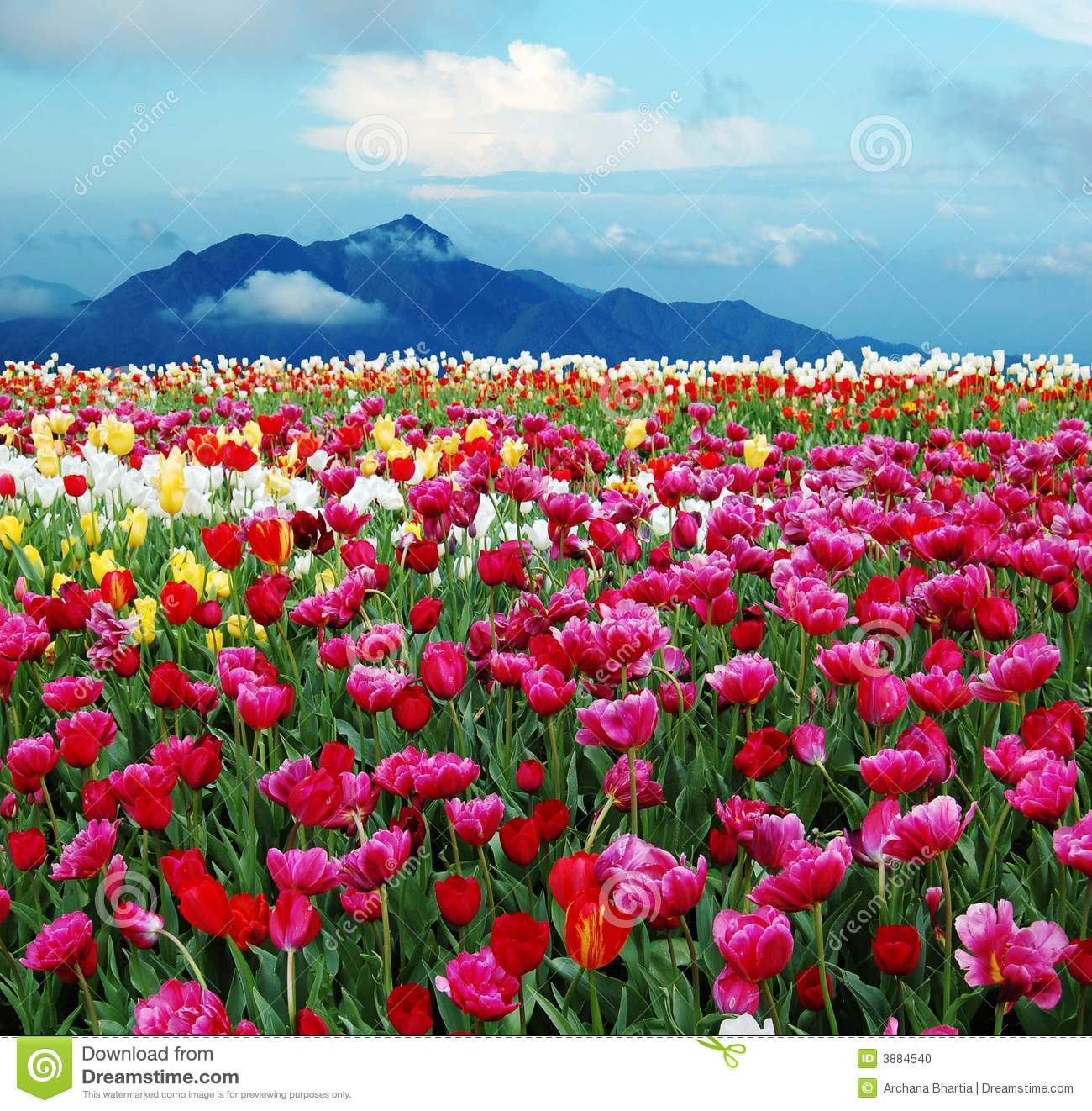 Tulips in a field with cloudy sky and hills in the background.