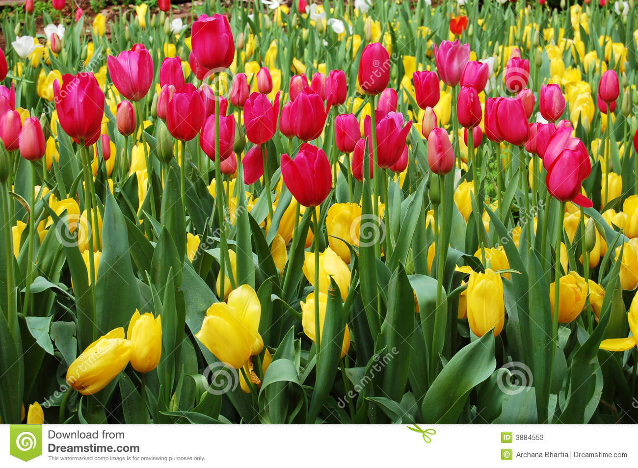 Colorful tulips in a garden at springtime.