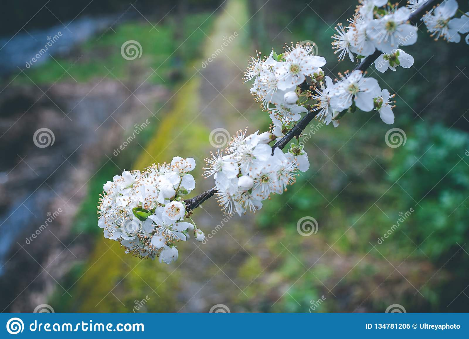 Almond tree flourished in Springtime