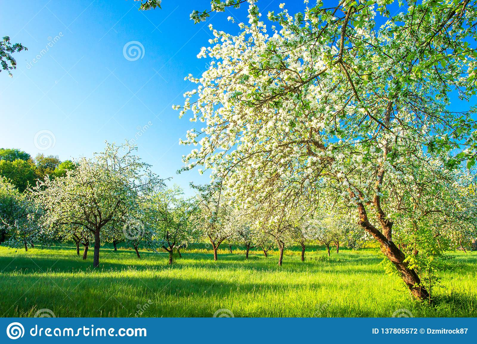 Springtime. Beautiful landscape with blossoming apple garden