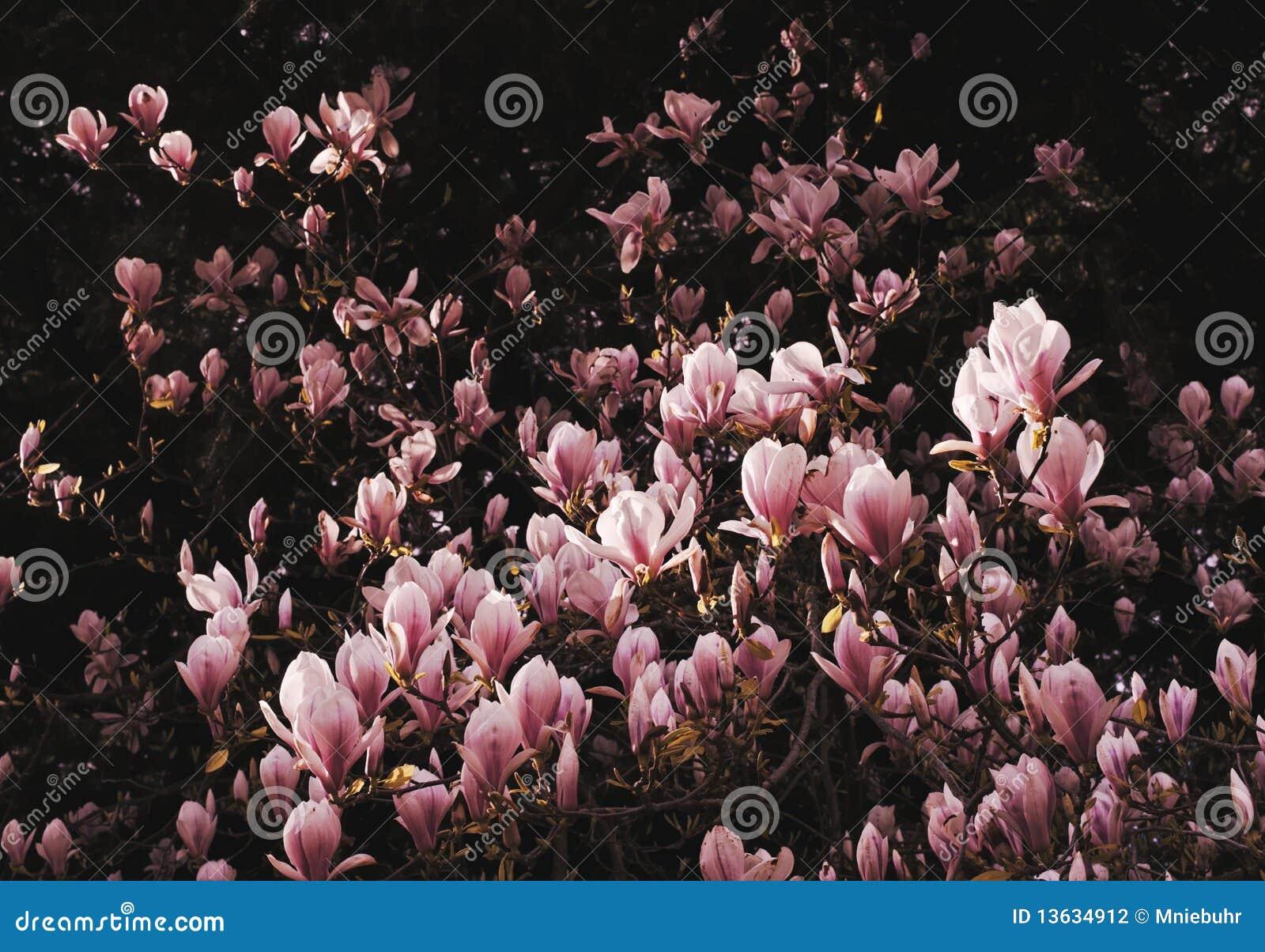 Magnolia Tulip Bush