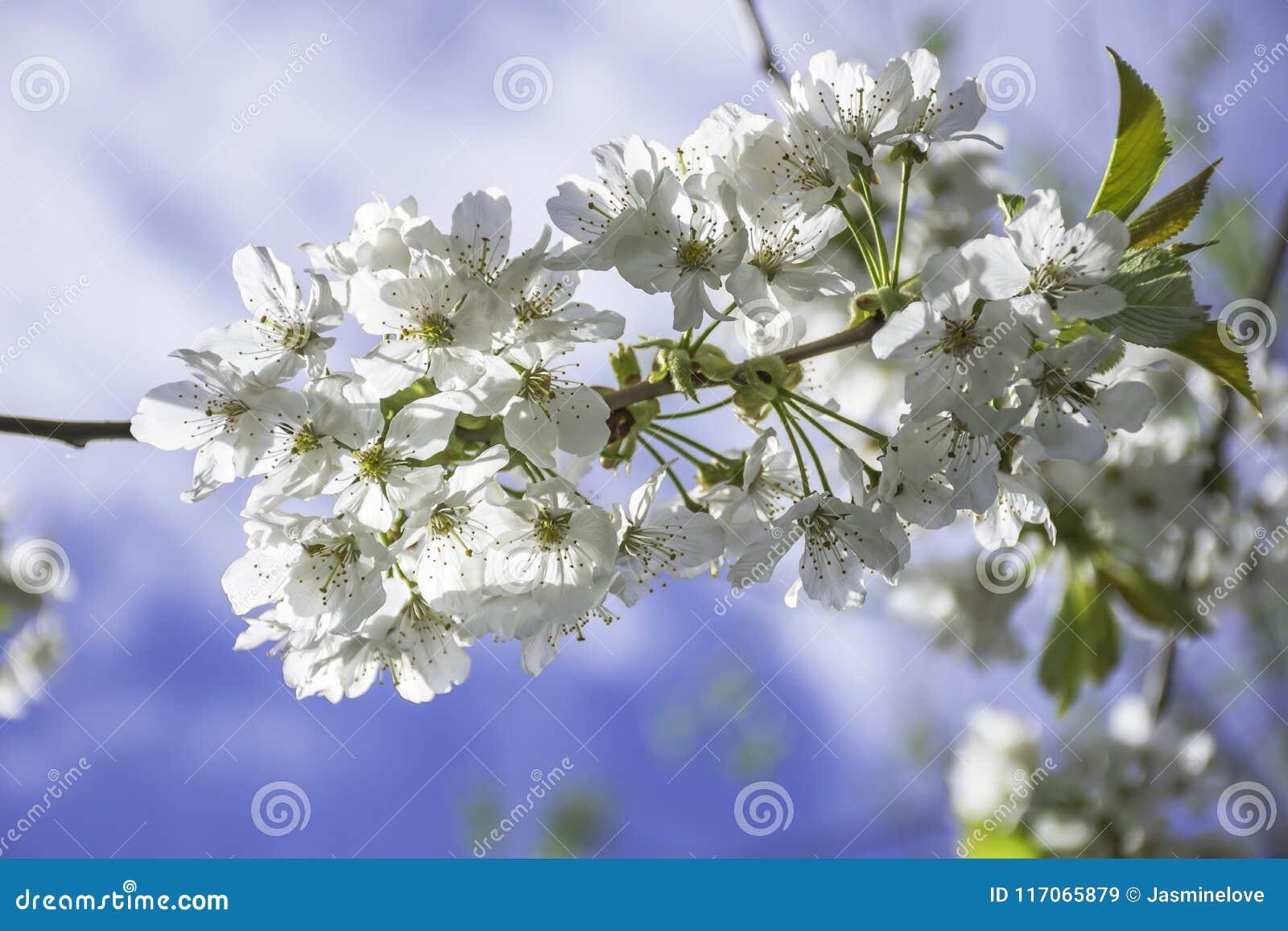 Springtime Blossom Stock Image Image Of Flowers Bloom 117065879