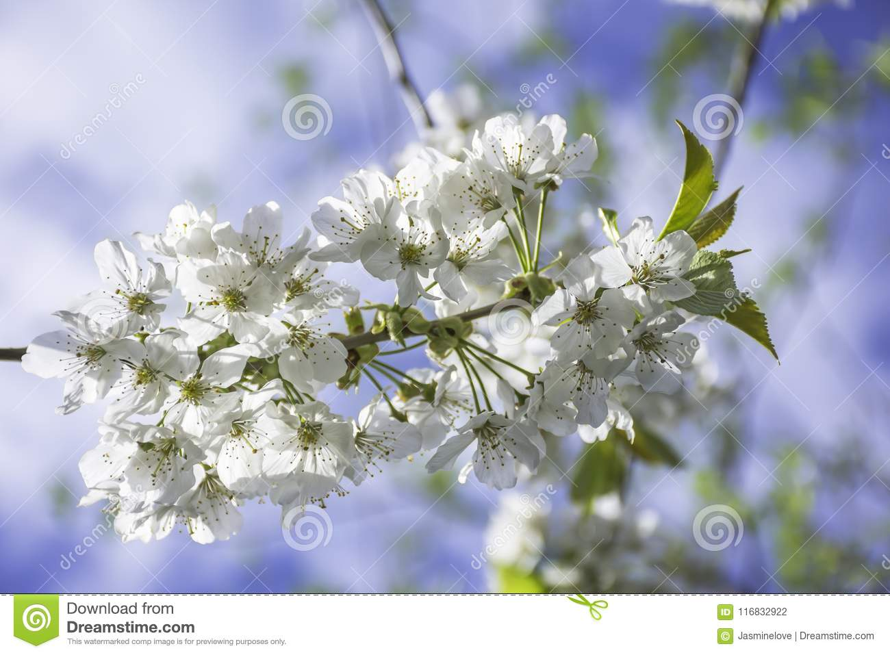 Springtime Blossom On Uk Meadow Stock Photo Image Of Plant