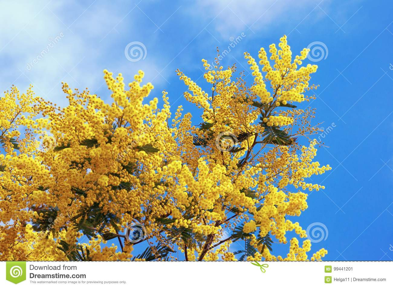 Springtime Branches Of Flowering Acacia Dealbata Mimosa Against
