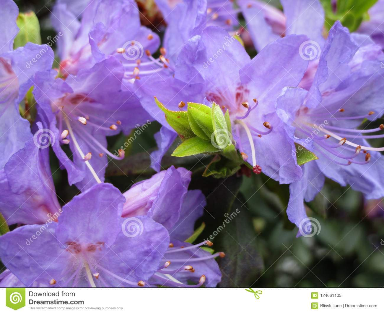 Bright purple lily flowers close up british columbia canada 2018 download bright purple lily flowers close up british columbia canada 2018 stock image izmirmasajfo