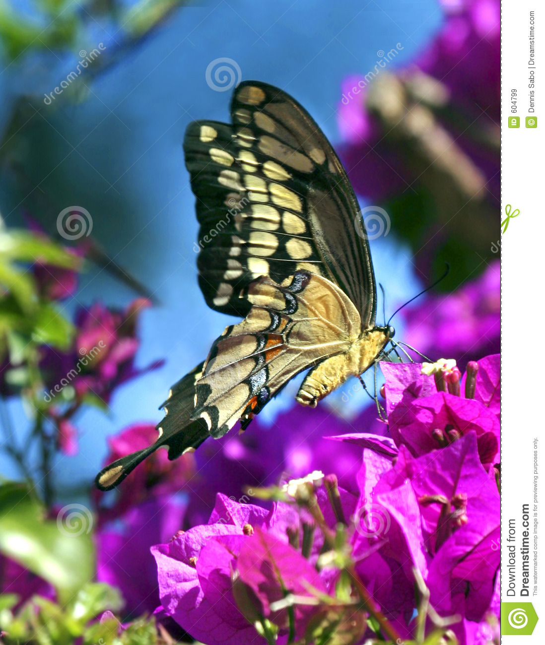 Eastern Tiger Swallowtail Butterfly enjoys the purple flowers of a ...