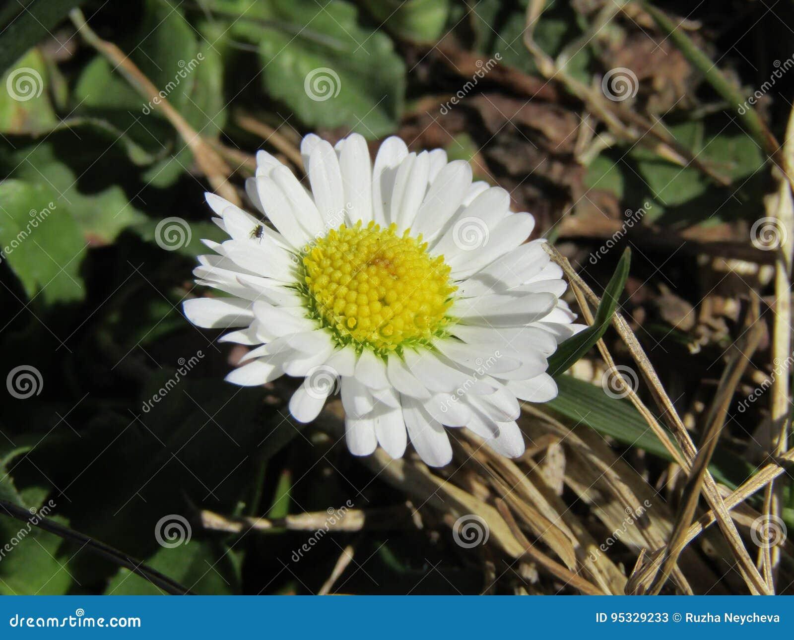 Springtime daisy