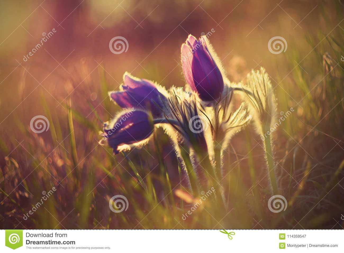 Springtime flower. Beautiful purple little furry pasque-flower. Pulsatilla grandis Blooming on spring meadow at the sunset.