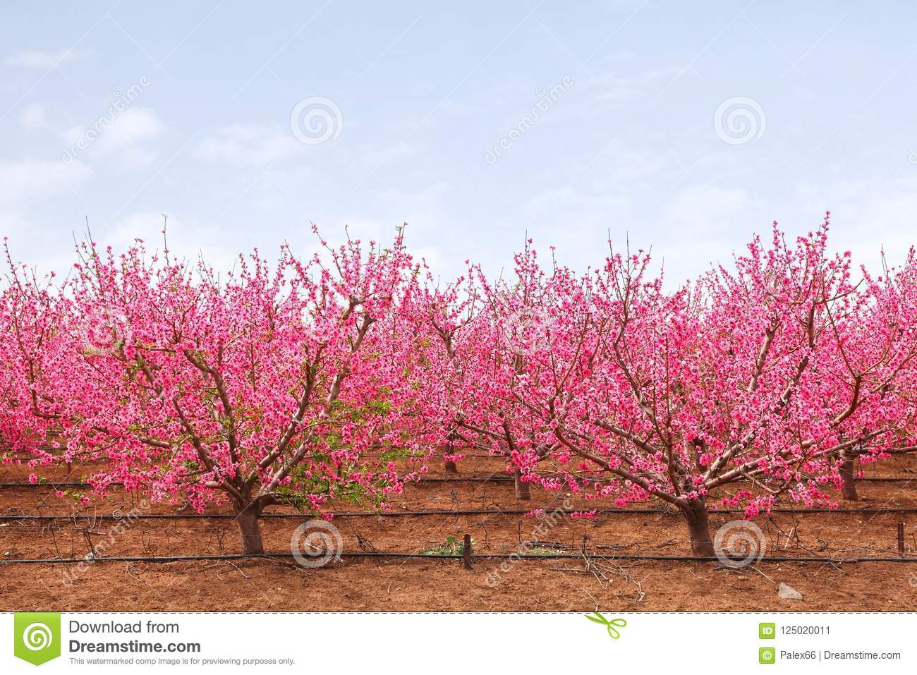 Springtime garden stock image image of blossoming branch 125020011 blossom branches of peach trees with fluffy pink flowers mightylinksfo