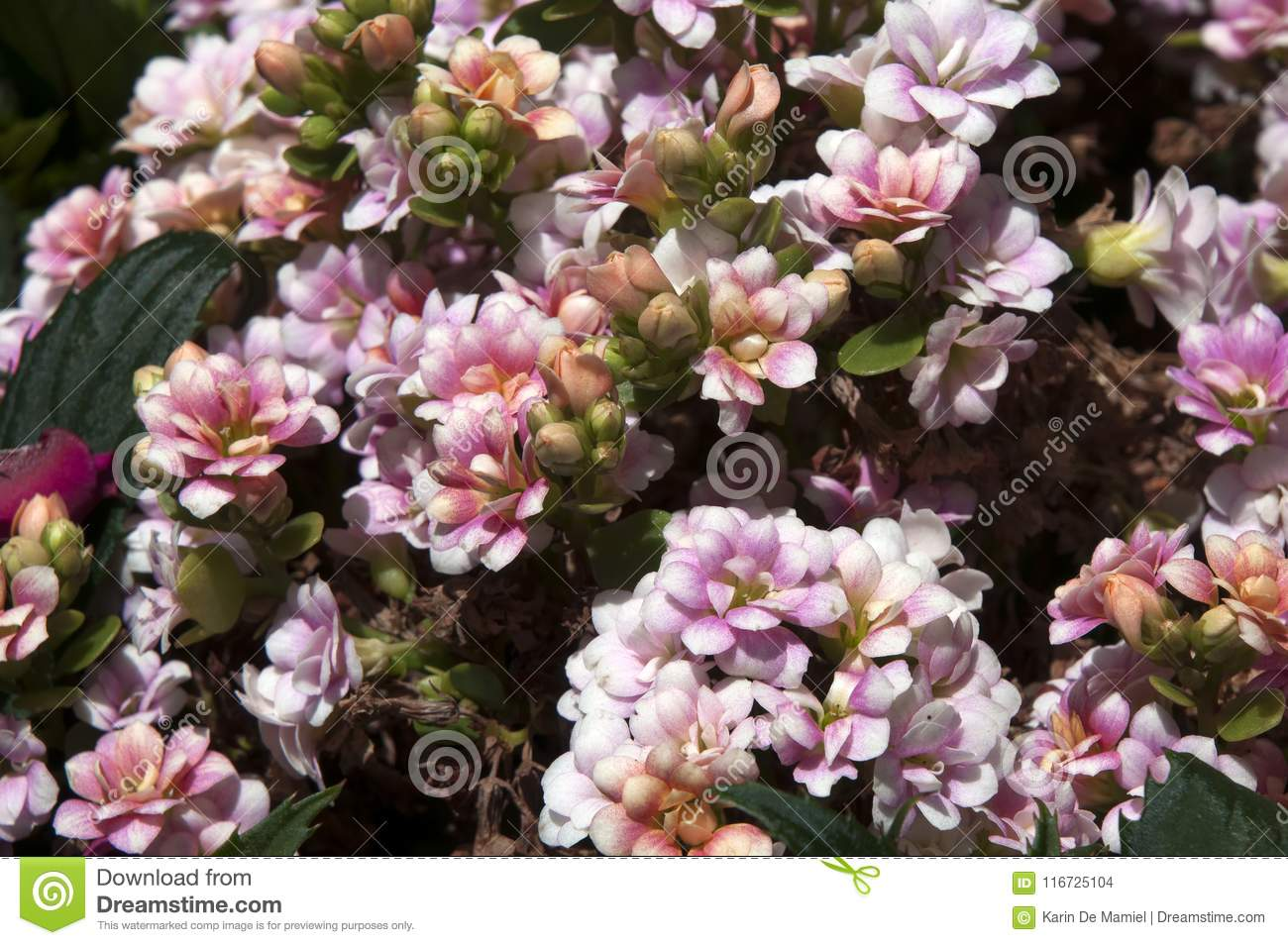 Shrub with small pink flowers stock photo image of pink bunch download shrub with small pink flowers stock photo image of pink bunch 116725104 mightylinksfo