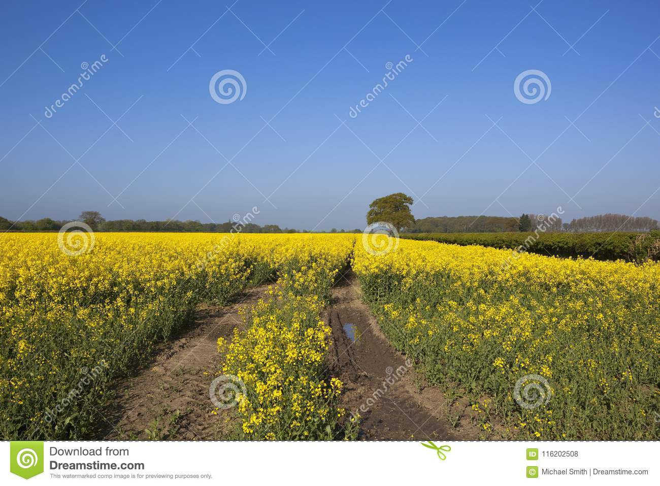 Springtime yellow flowering rapeseed crop stock photo image of download springtime yellow flowering rapeseed crop stock photo image of flowers climate 116202508 mightylinksfo