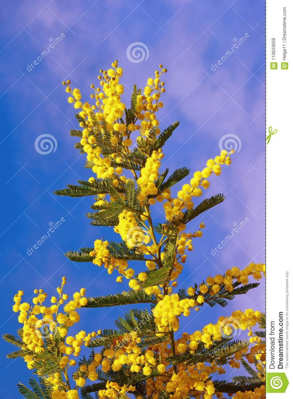 Springtime yellow flowers of acacia dealbata mimosa against blue yellow flowers of acacia dealbata mimosa against blue sky mightylinksfo