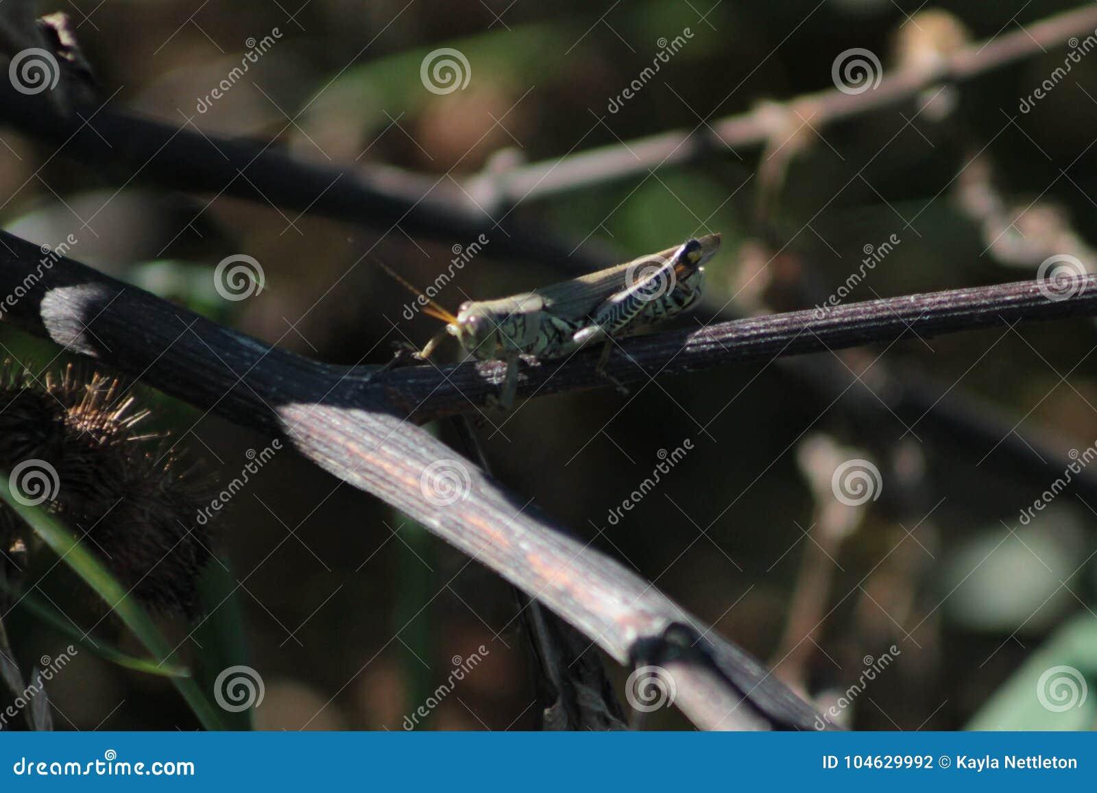 Download Sprinkhaan Die Klaar Te Lanceren Worden Stock Foto - Afbeelding bestaande uit bruin, zijn: 104629992
