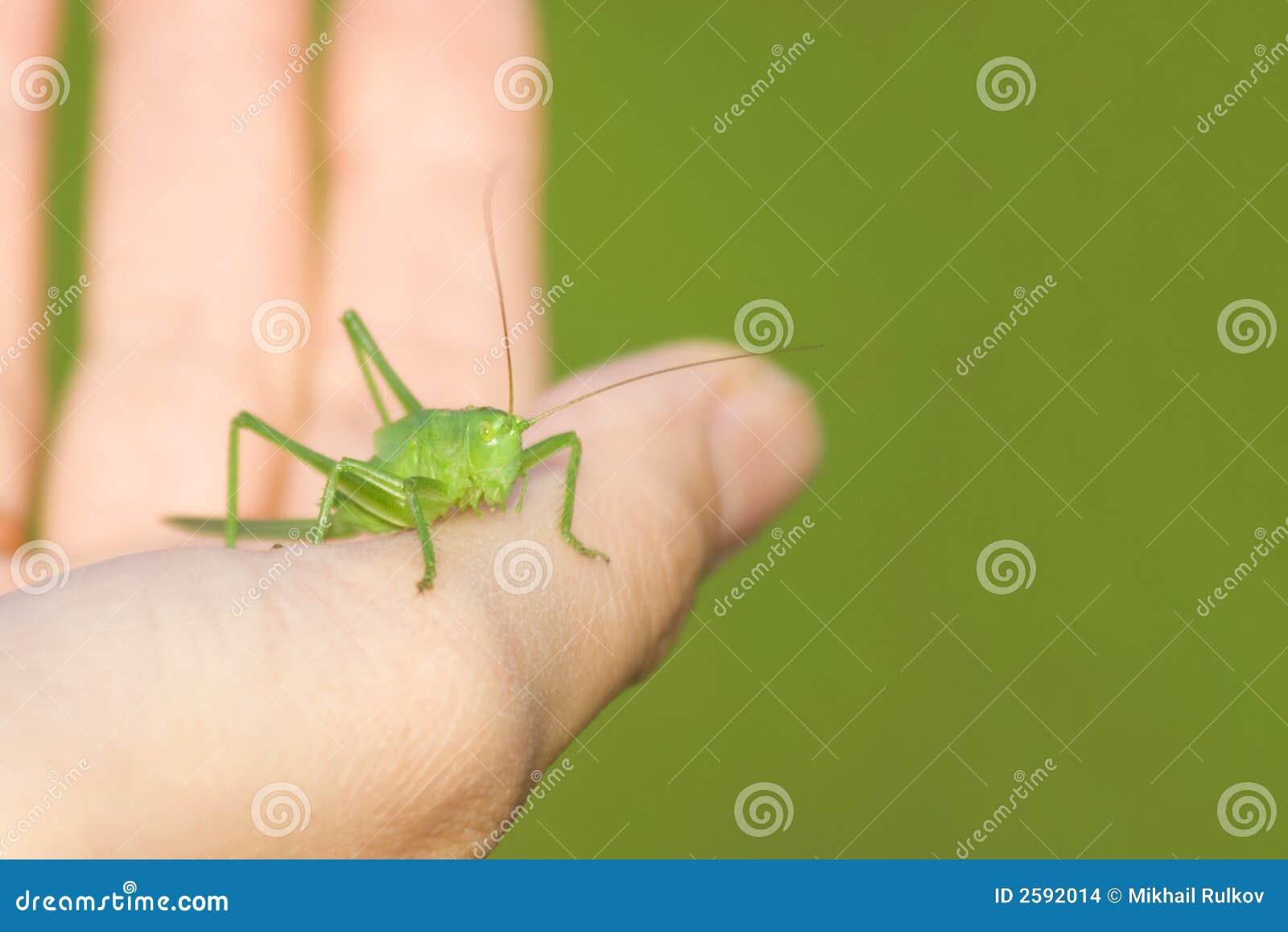 Sprinkhaan op een hand