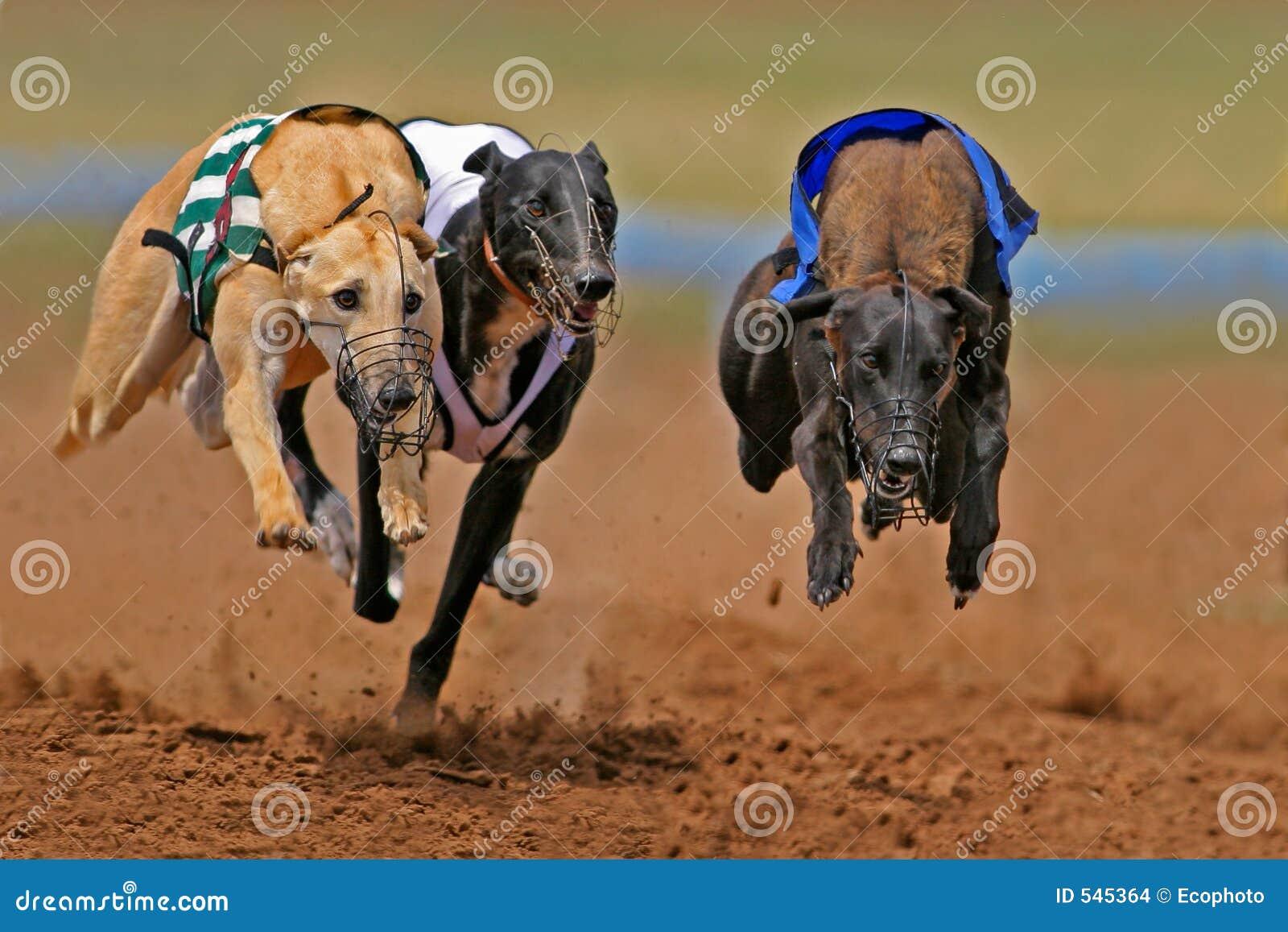 Sprinten der Windhunde