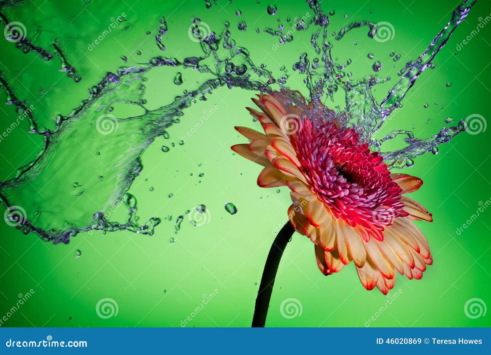 Spritzen auf einem Gänseblümchen