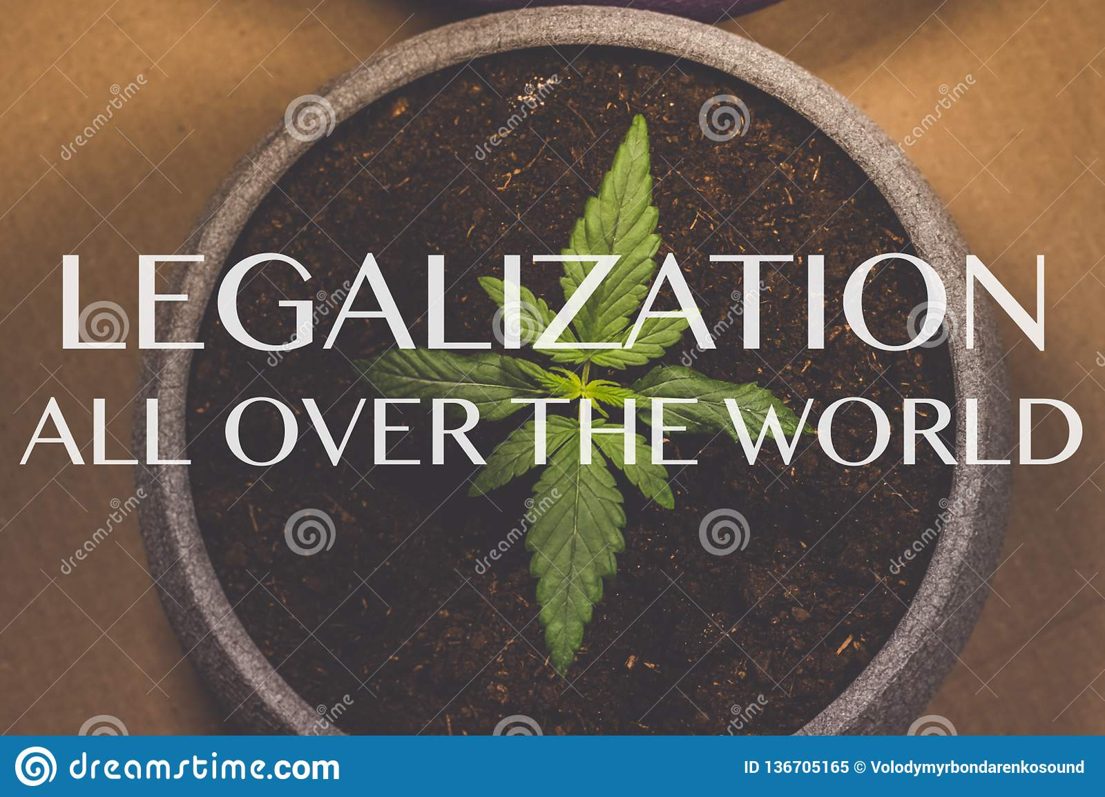 Sprout of medical marijuana. Marijuana plant growing indoors. Cannabis. Legalization all over the world