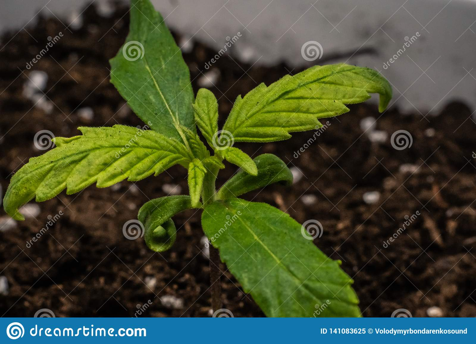 Sprout of medical marijuana plant growing indoor. Cannabis plant