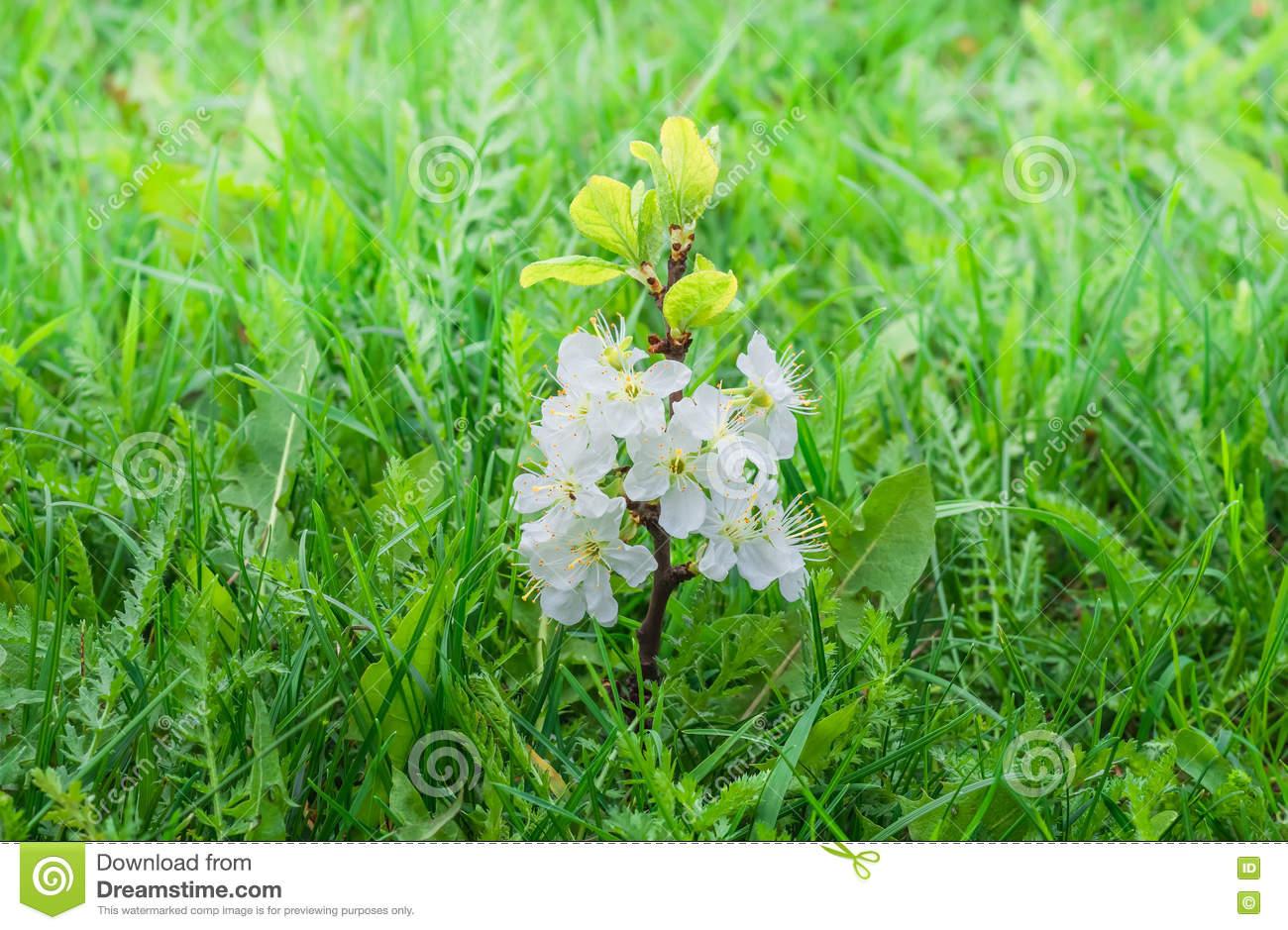 Sprout Plum Tree With Flowers In A Green Grass Stock Photo Image