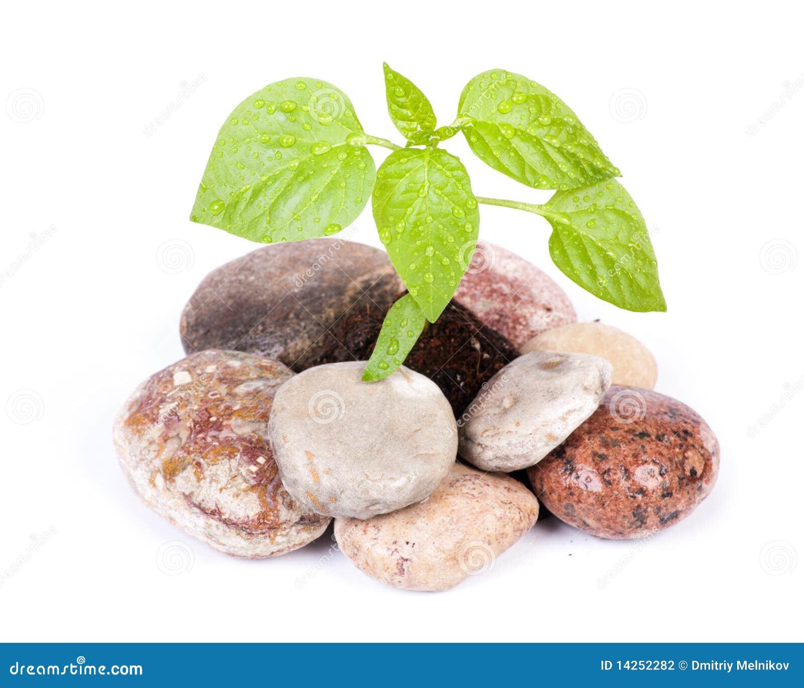 Sprout verde pequeno entre pedras