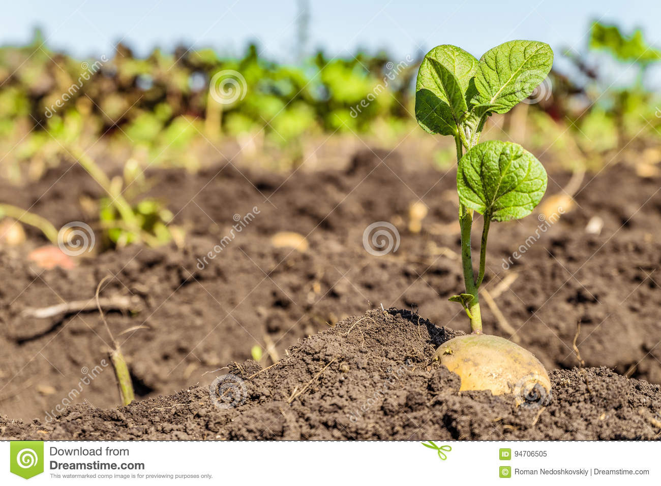 Sprouted potato tuber. Green shoots of potato seed on the background of the plantation.