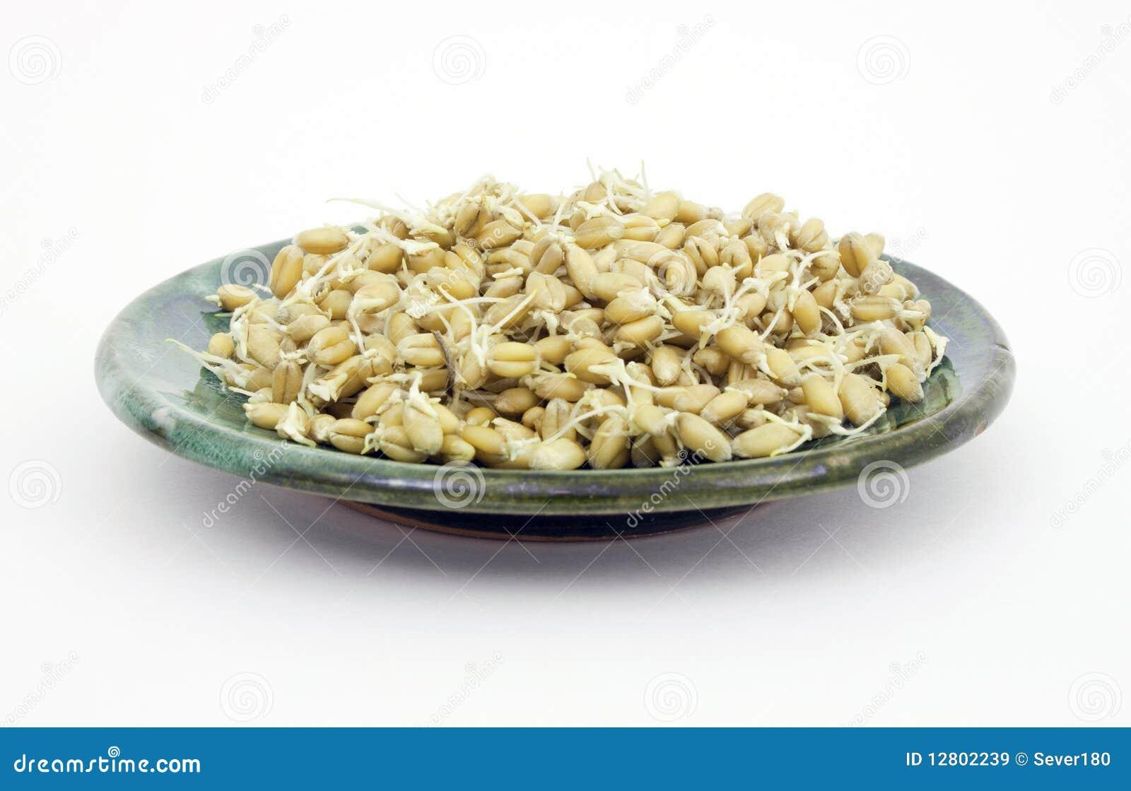 Sprouts das grões do trigo