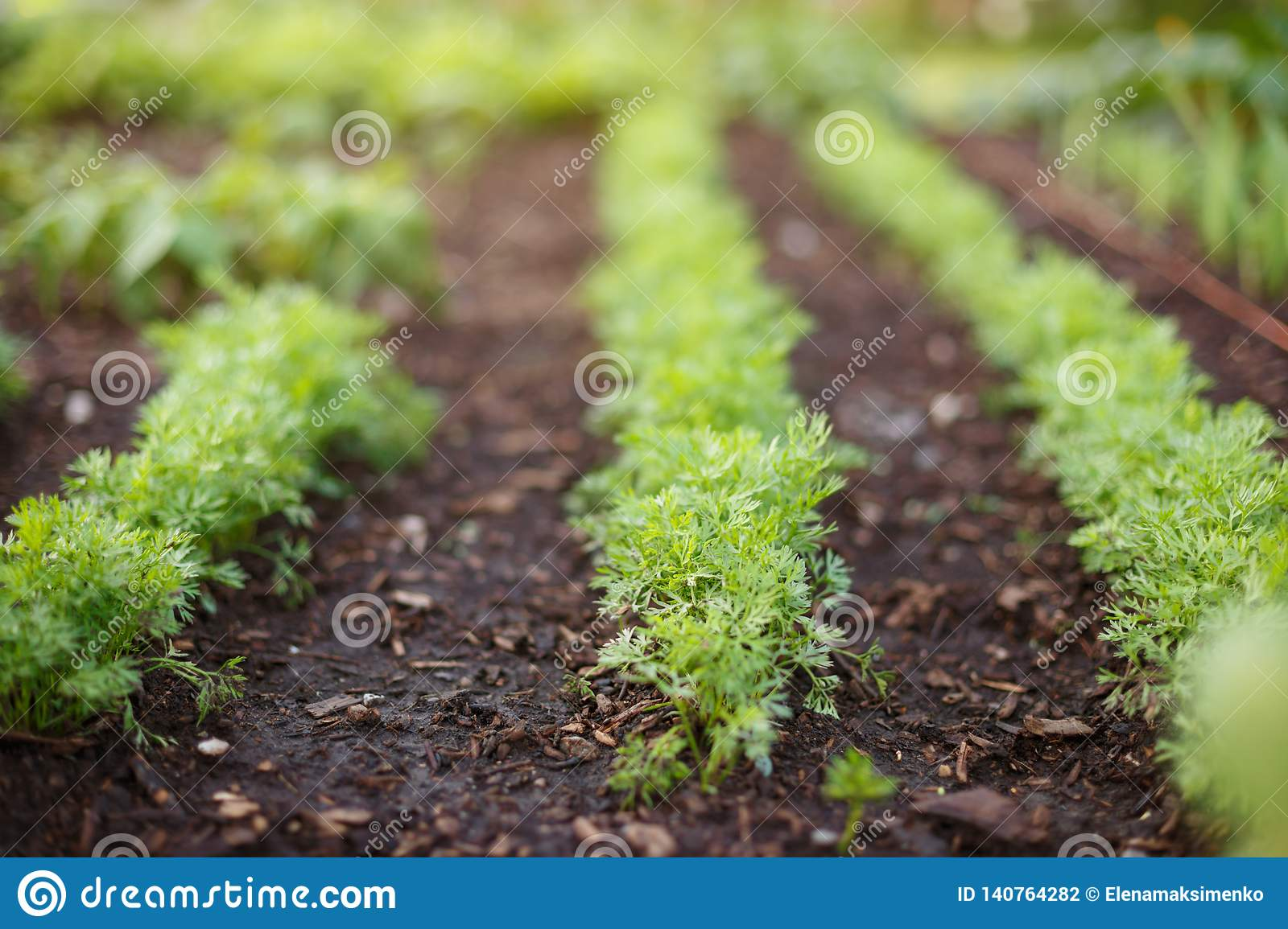 Sprouts of young carrots grow on a garden bed.