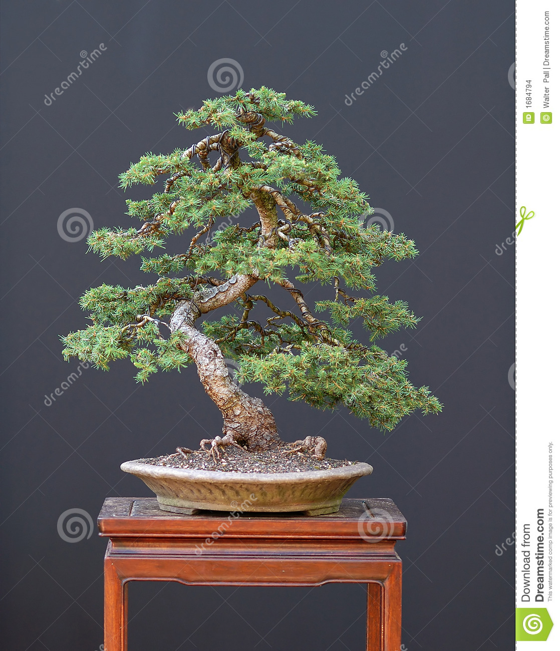 Spruce Bonsai Stock Photo Image Of Tree Picea Nature 1684794