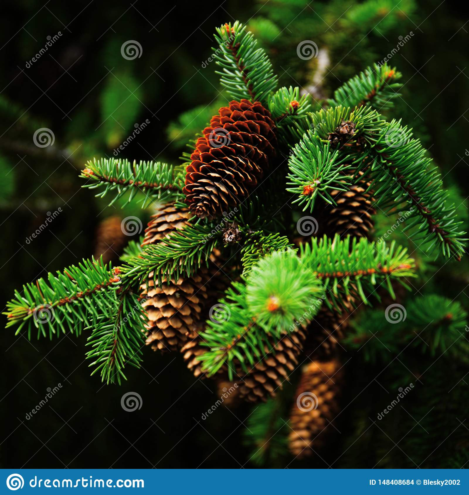 Spruce with cones, close up