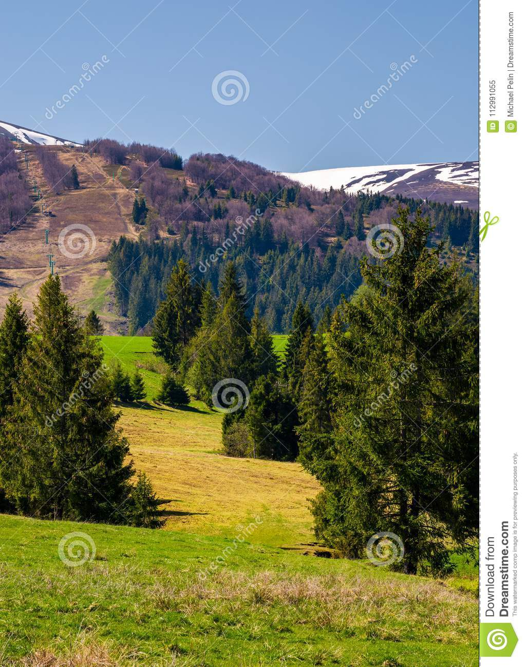 Spruce forest on the grassy hills in the valley