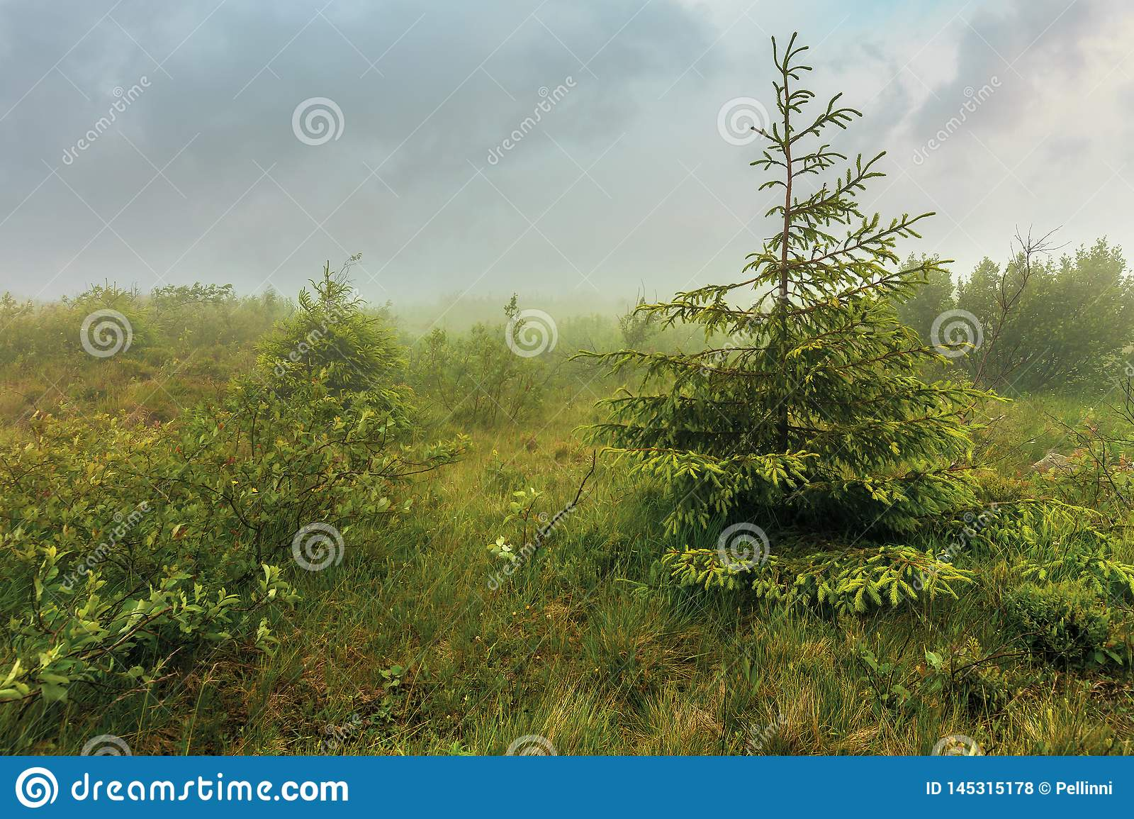 Spruce tree on a meadow in fog