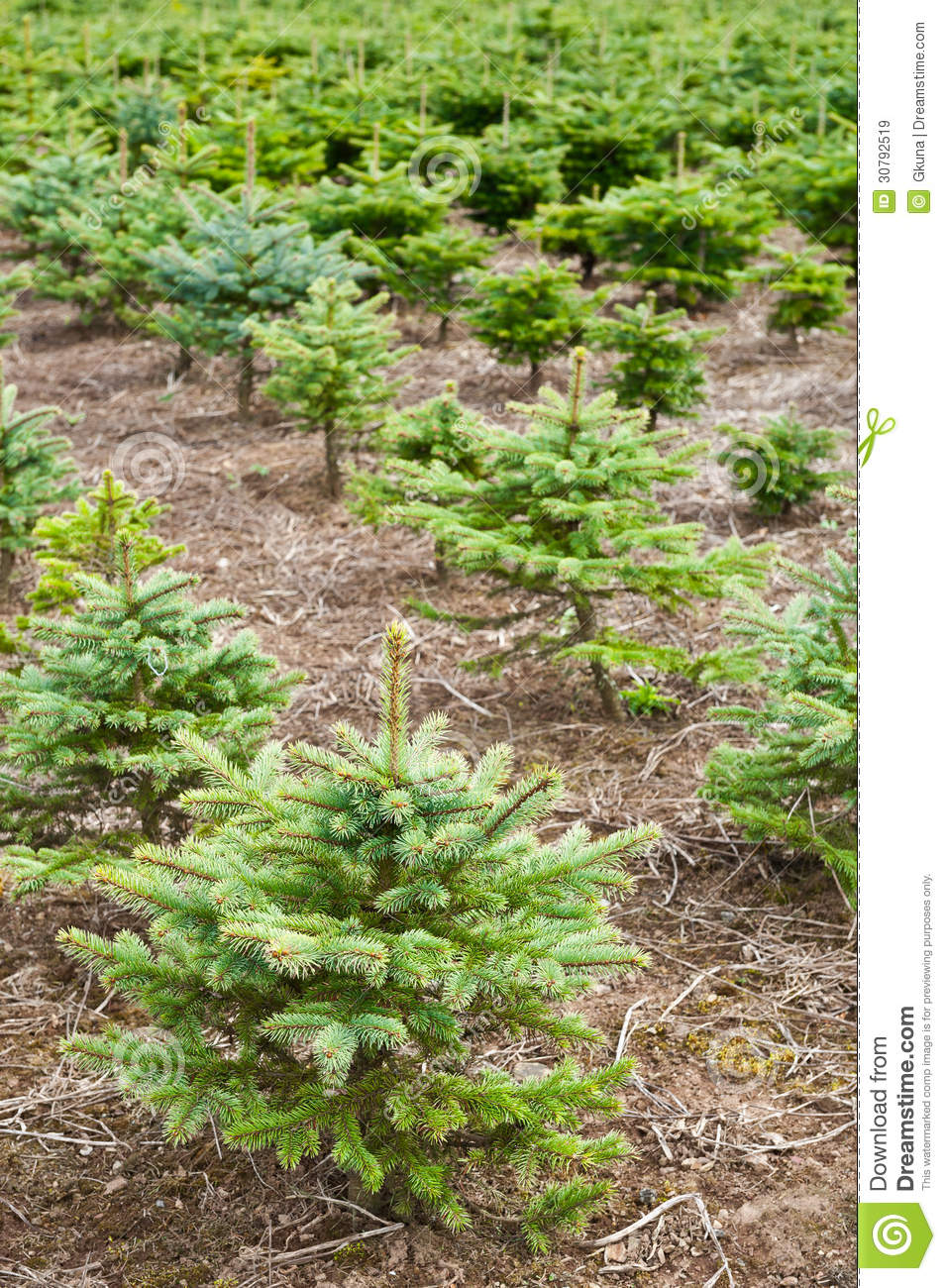 how to grow spruce trees minecraft