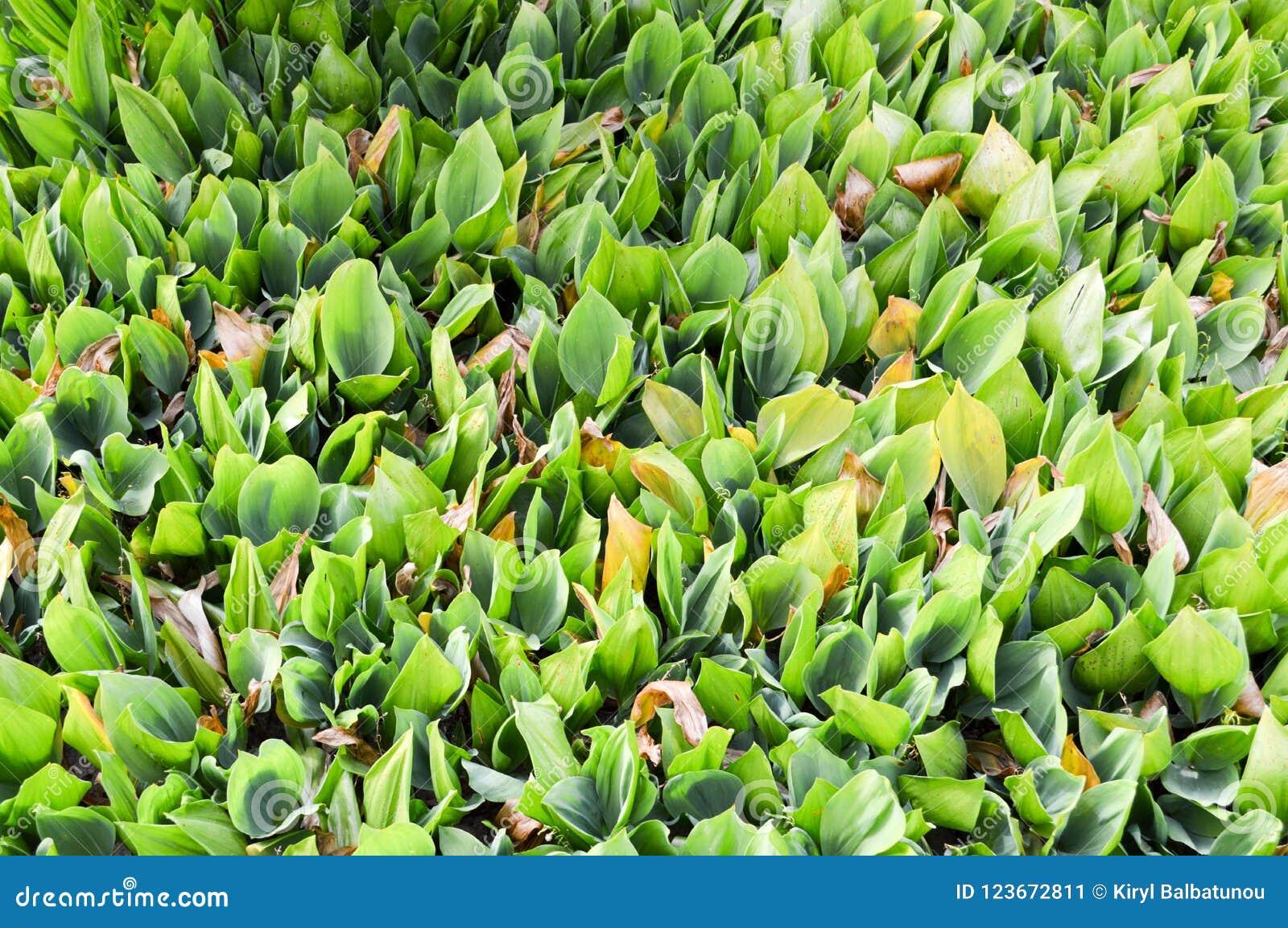 Spruiten van de textuur de groene verse jonge plant van onontloken lelietje-van-dalen met groene bladeren van gras zonder bloemen