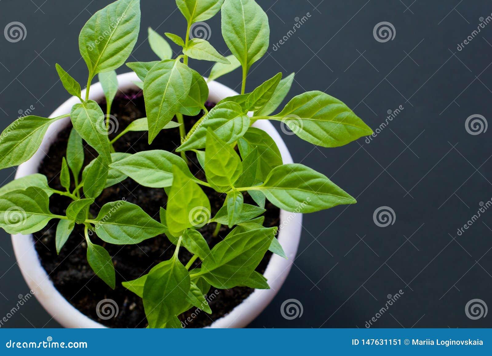 Spruiten van hete Vietnamese peper in een purpere pot op een zwarte achtergrond Hoogste mening