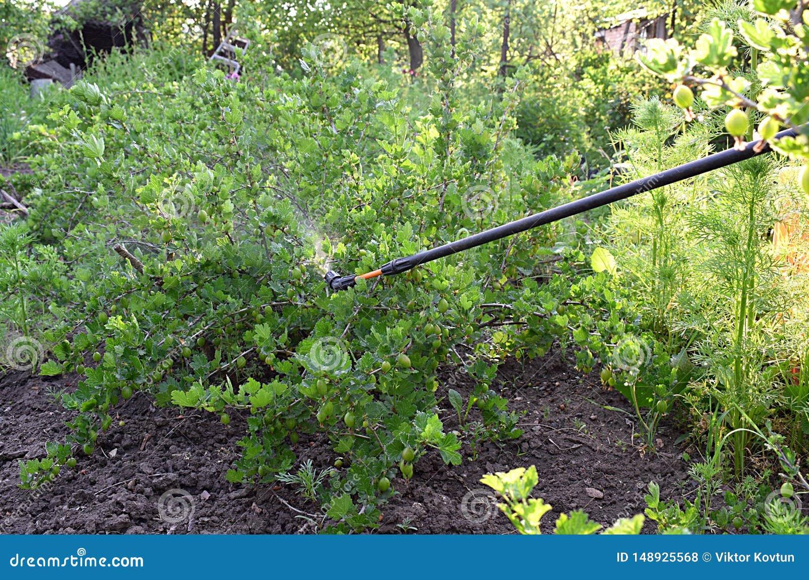 Spruzzatura dei cespugli di uva spina con il fungicida in primavera
