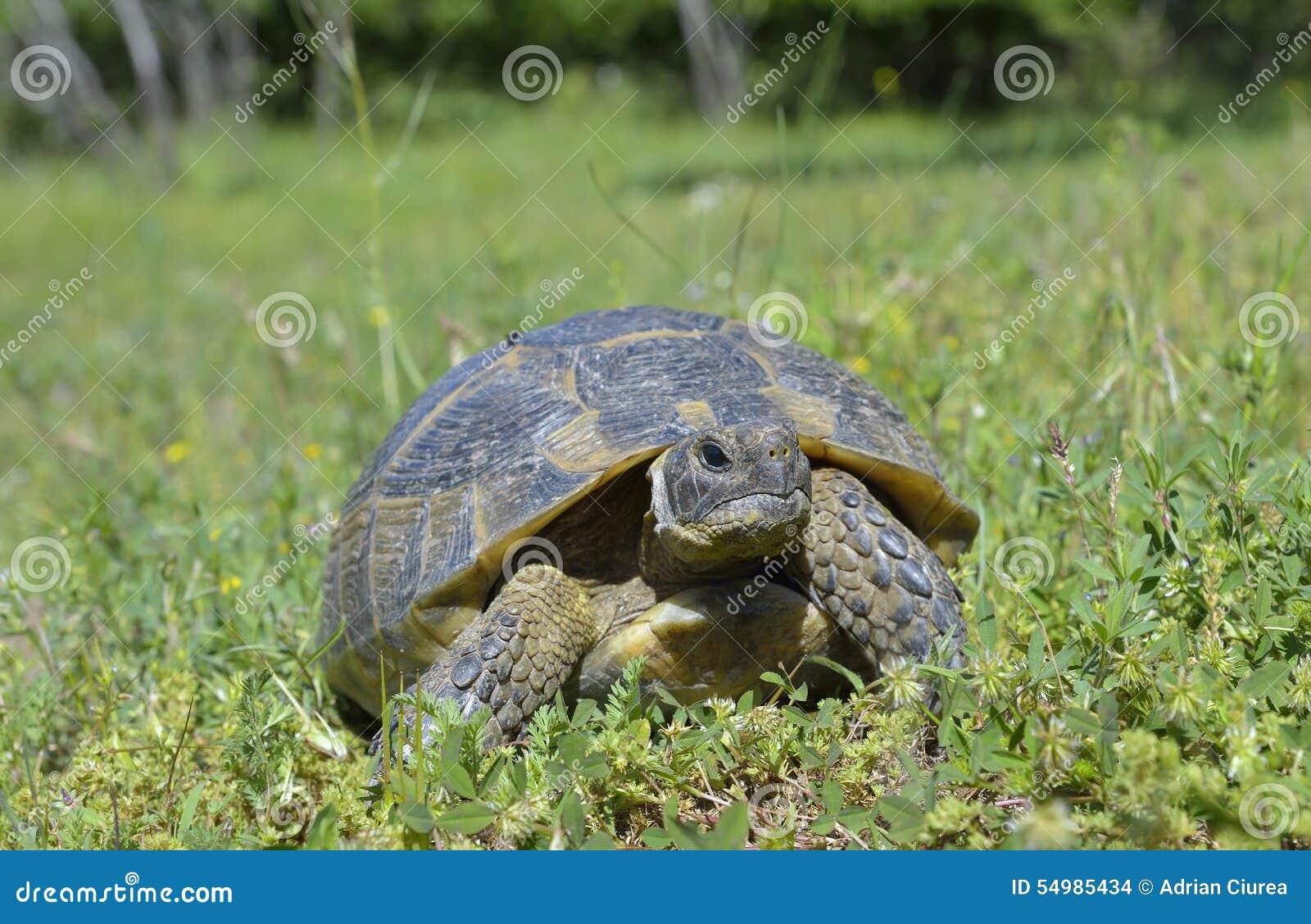 Spur thighed sköldpaddan (Testudograecaen)