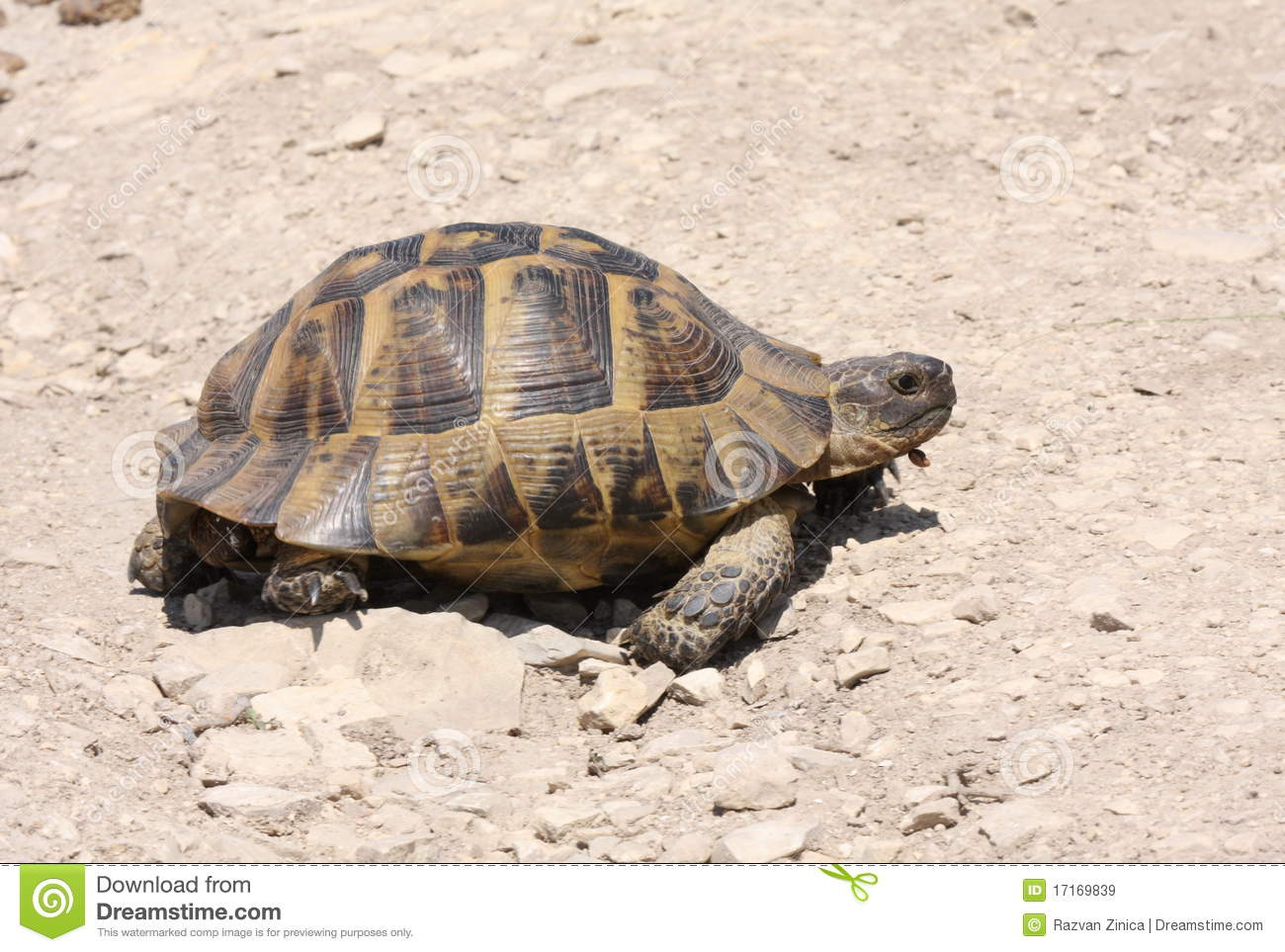 Spur-thighed Tortoise Royalty Free Stock Images - Image: 17169839