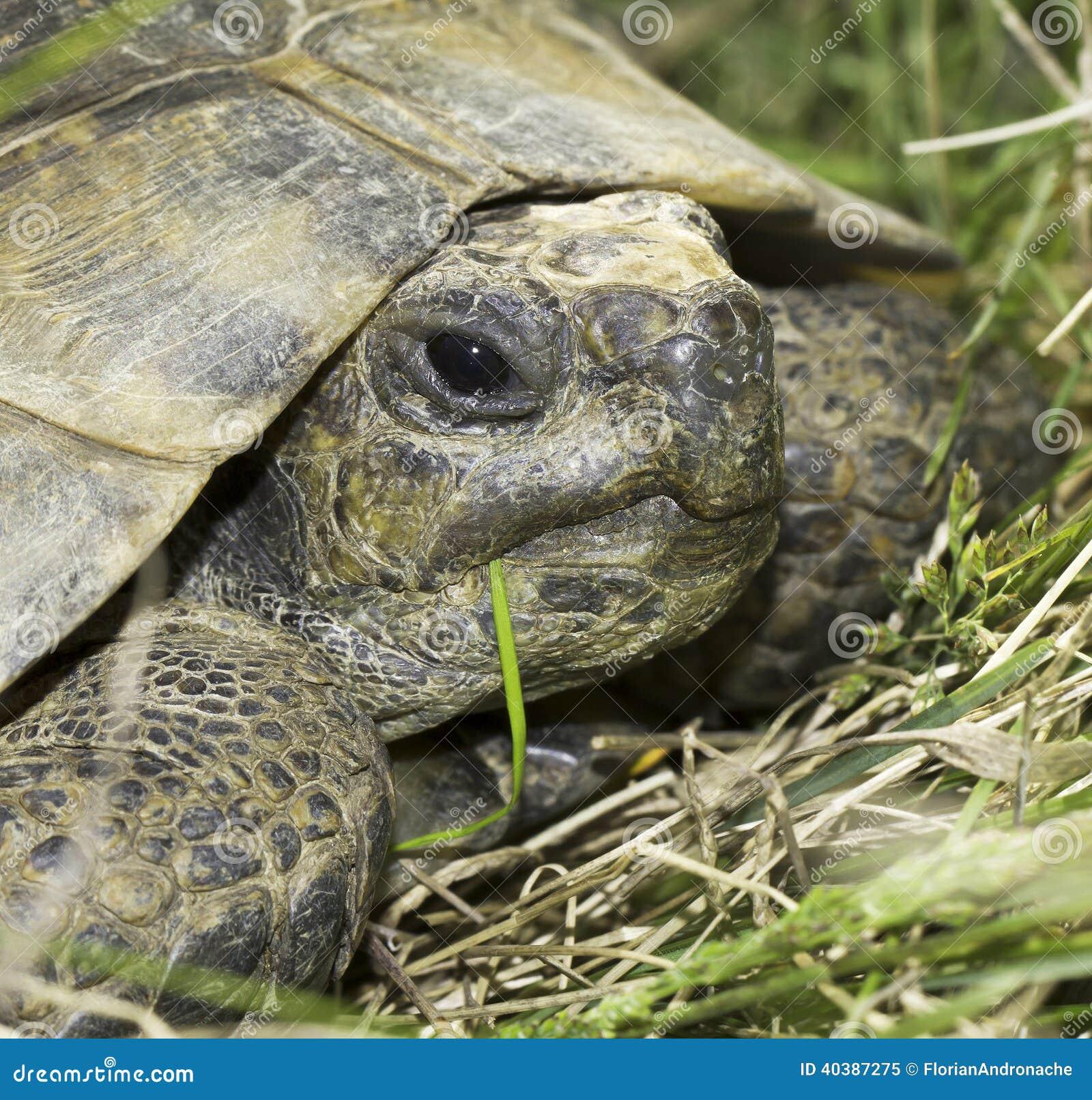 ibera greek tortoise - photo #29