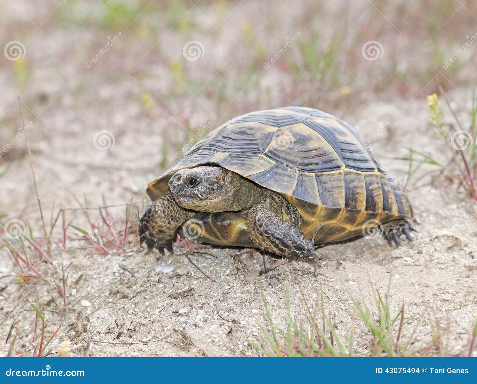 spur thighed tortoise or greek tortoise testudo graeca