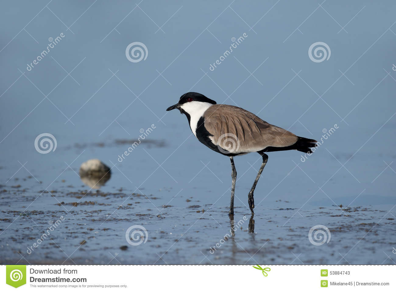 meet plover singles On eocheong do the restaurant that we used was good in that the owner would make the effort to try and meet our  kentish plover lesser  singles seen on only 3.