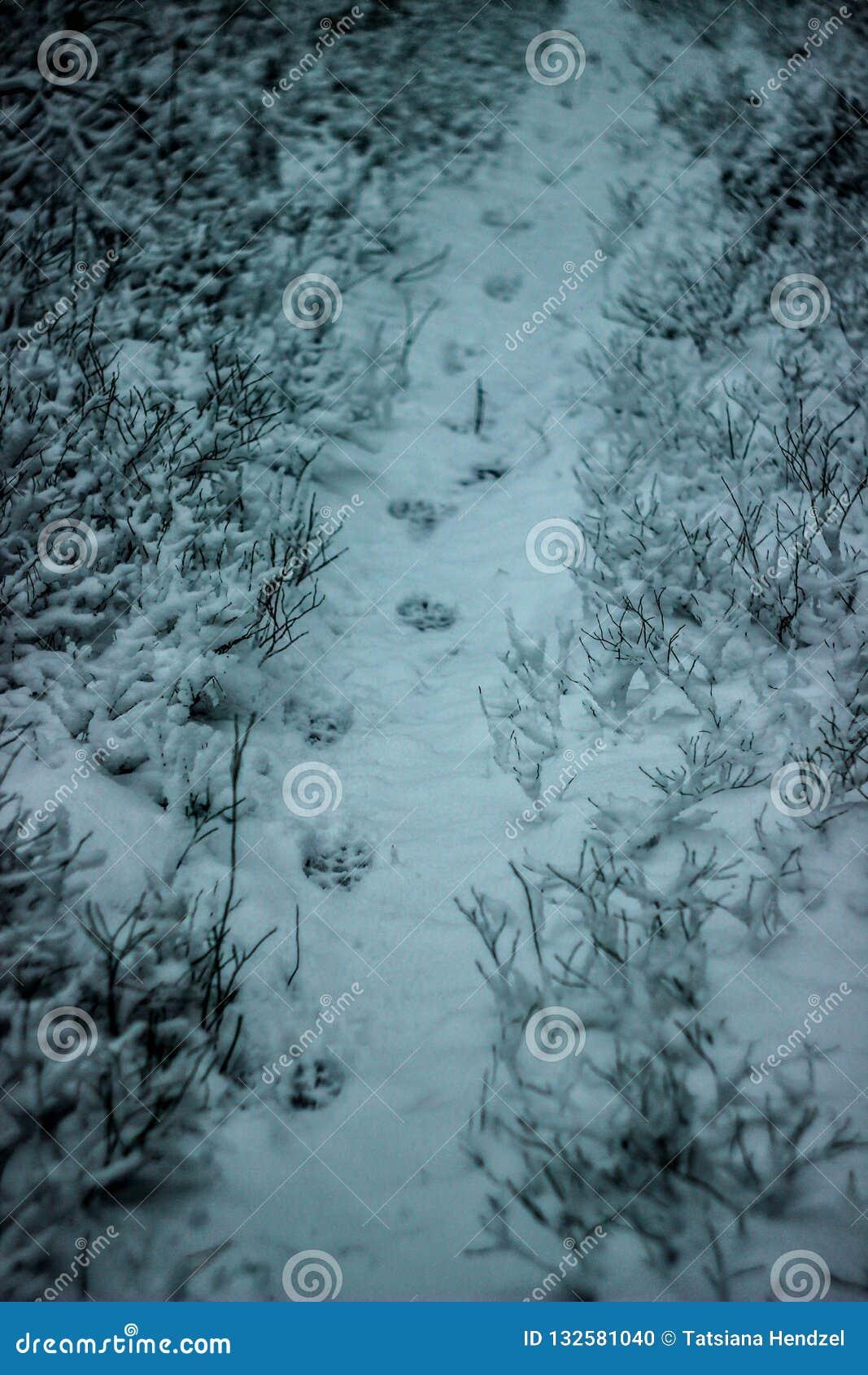 Spuren eines Wolfs oder des Hundes im Schnee